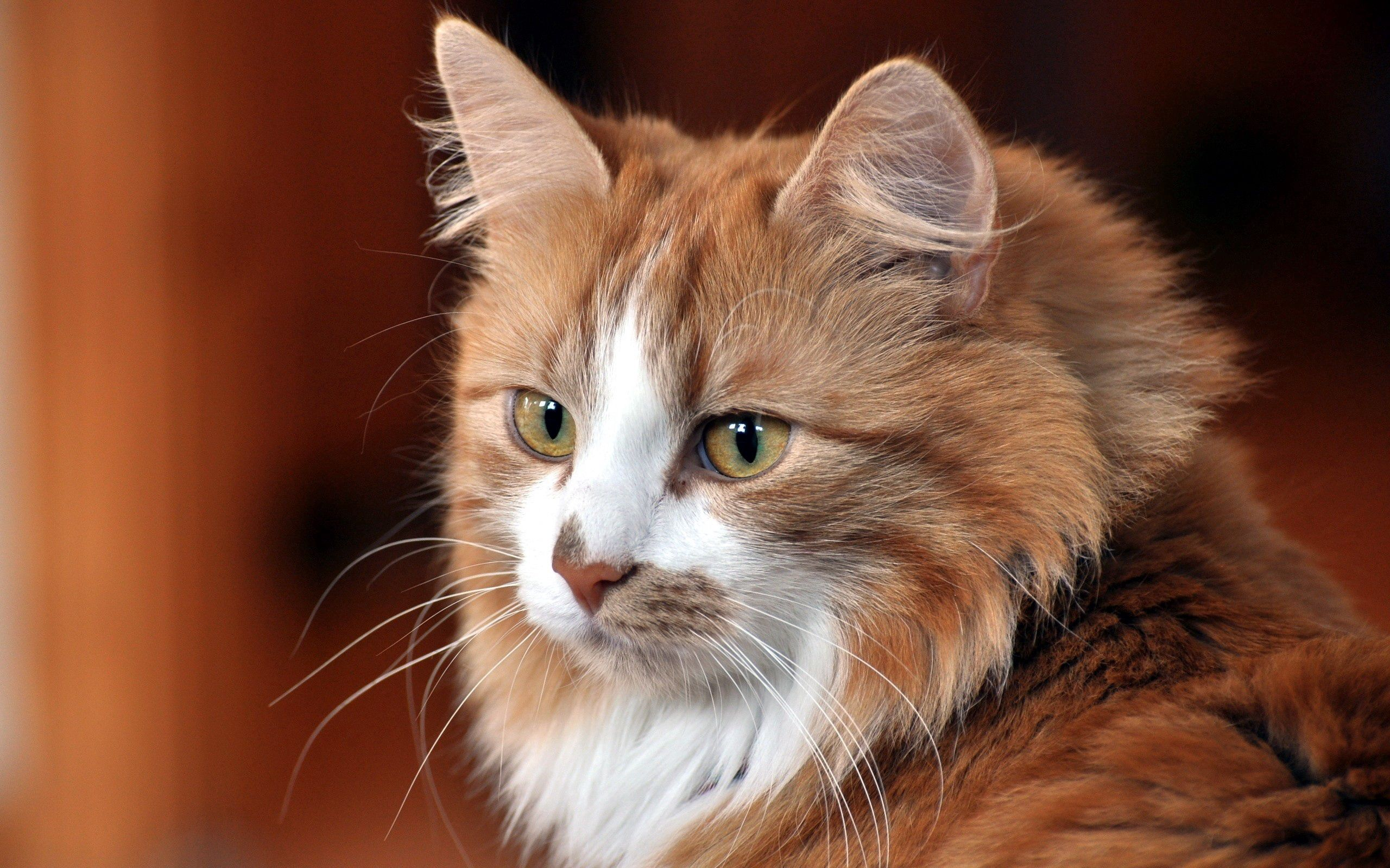 107906 Screensavers and Wallpapers Cat for phone. Download Animals, Cat, Muzzle, Fluffy Cat, Cool Cat, Funny Cat, Cute Cat pictures for free