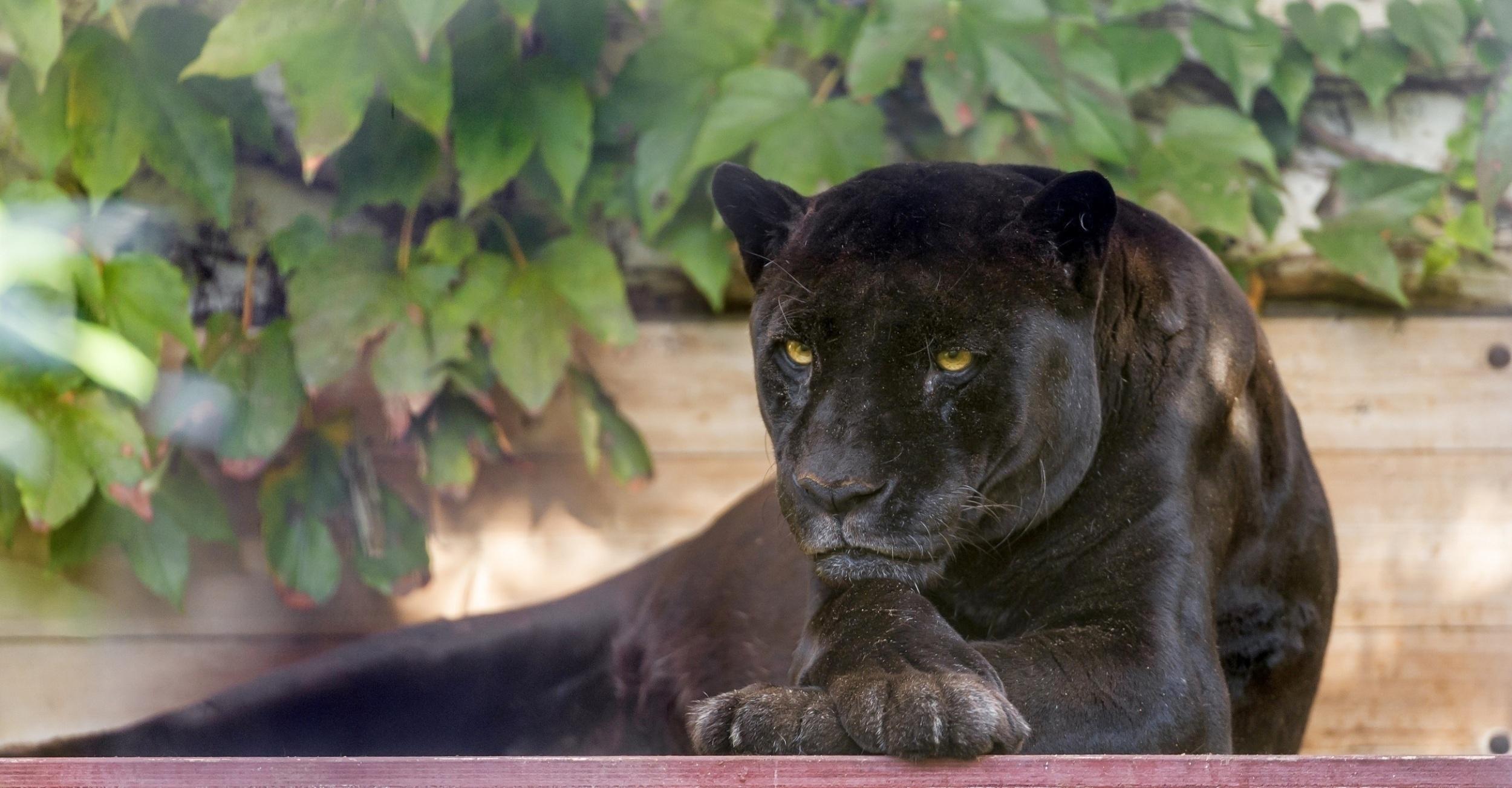 98484 Hintergrundbild herunterladen Tiere, Das Schwarze, Raubtier, Predator, Wilde Katze, Wildkatze, Panther - Bildschirmschoner und Bilder kostenlos