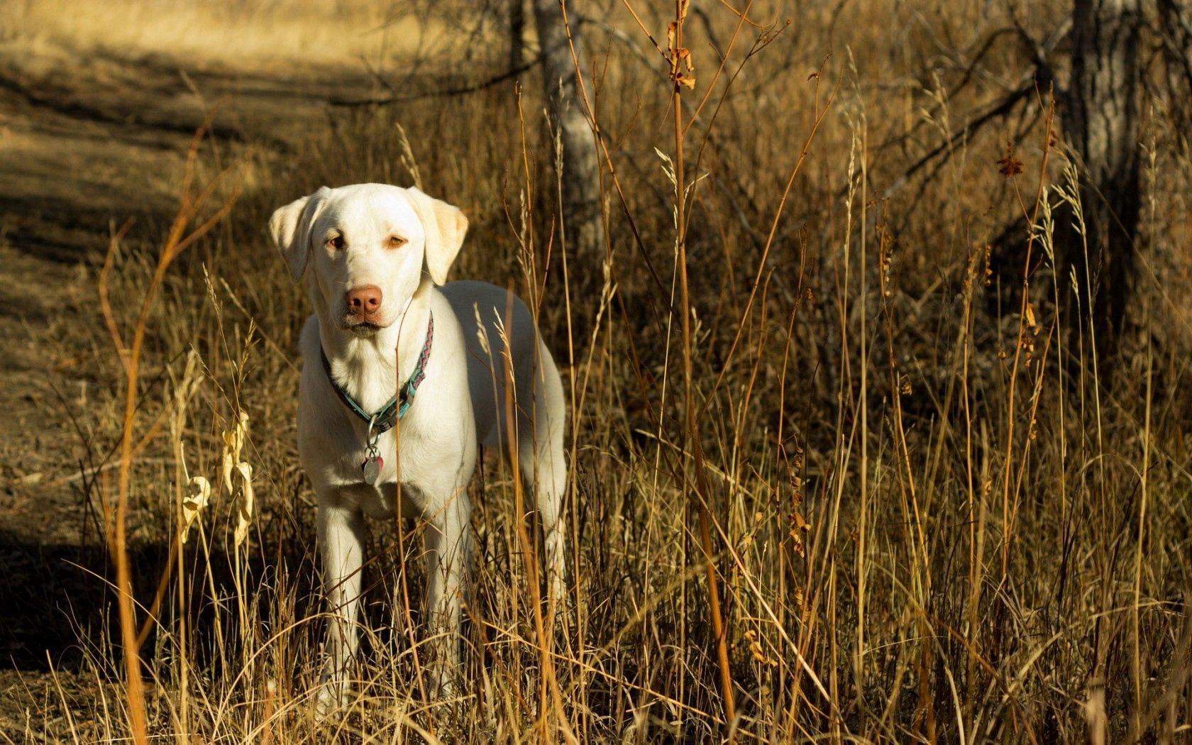 103295 download wallpaper Animals, Dog, Friend, Autumn, Grass, Field screensavers and pictures for free