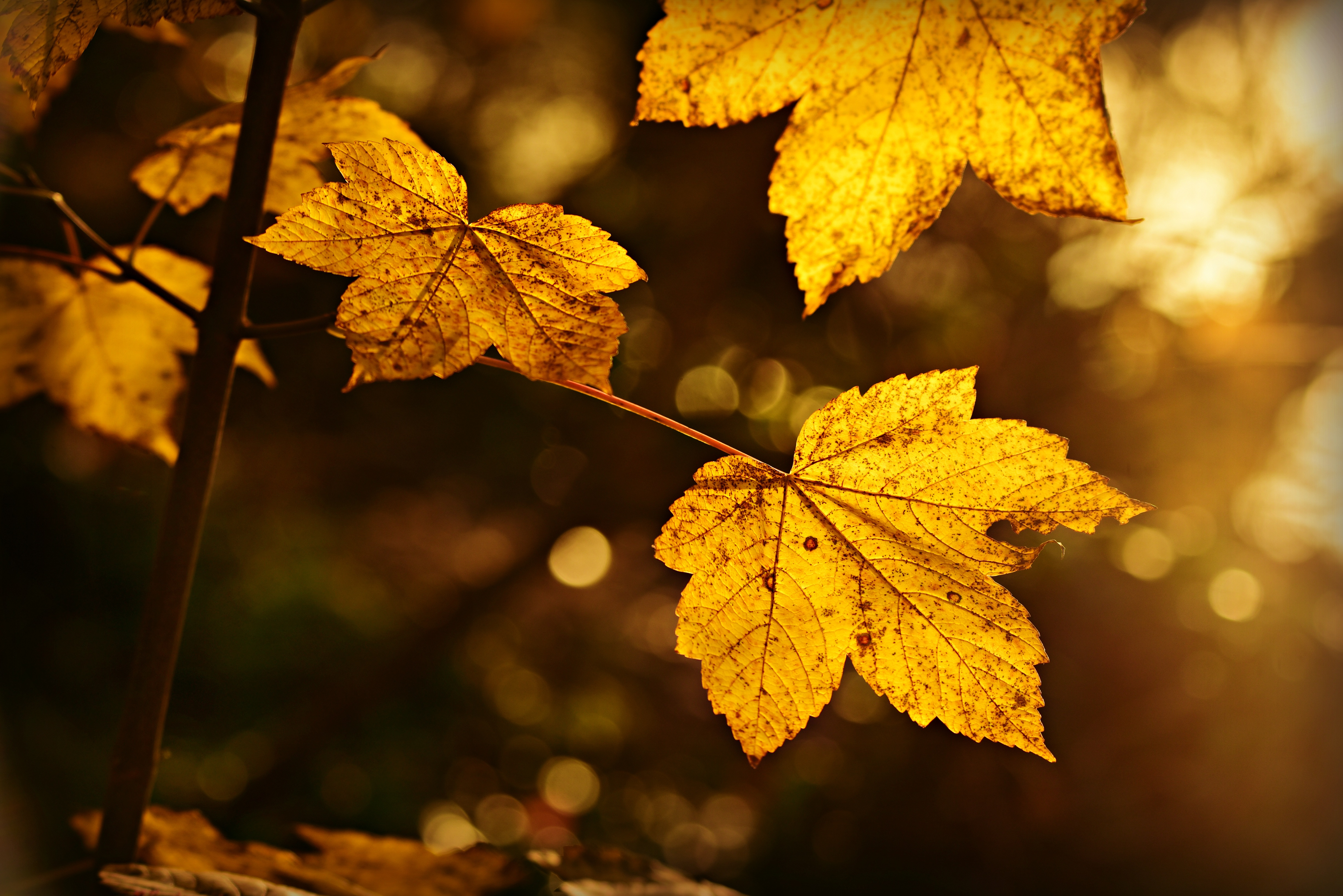 143372 download wallpaper Macro, Sheet, Leaf, Autumn, Branch, Blur, Smooth screensavers and pictures for free