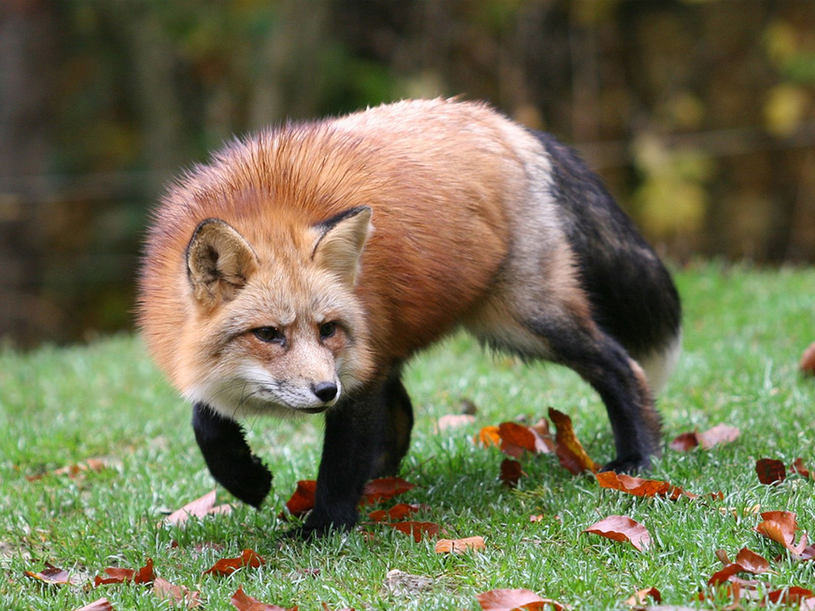 95778 download wallpaper Animals, Fox, Grass, Leaves, Autumn, Alertness, Hunting, Hunt screensavers and pictures for free