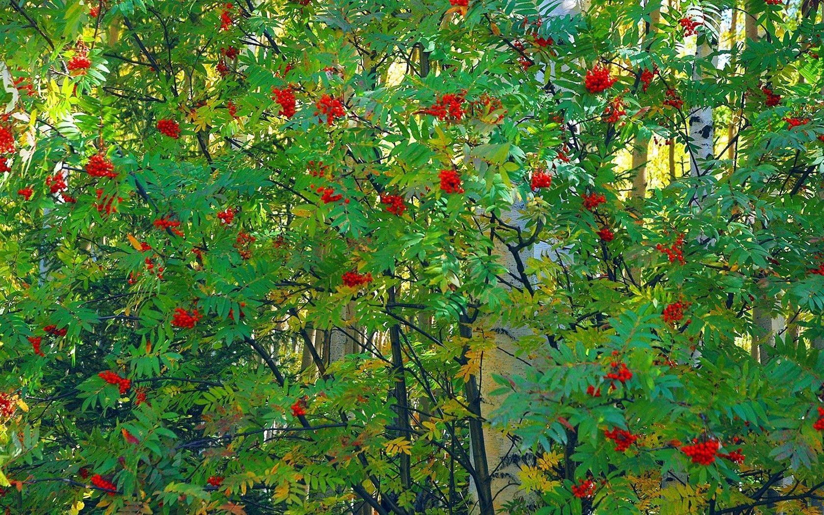 150971 скачать обои Рябина, Природа, Осень, Листья, Дерево, Ягода, Плоды - заставки и картинки бесплатно