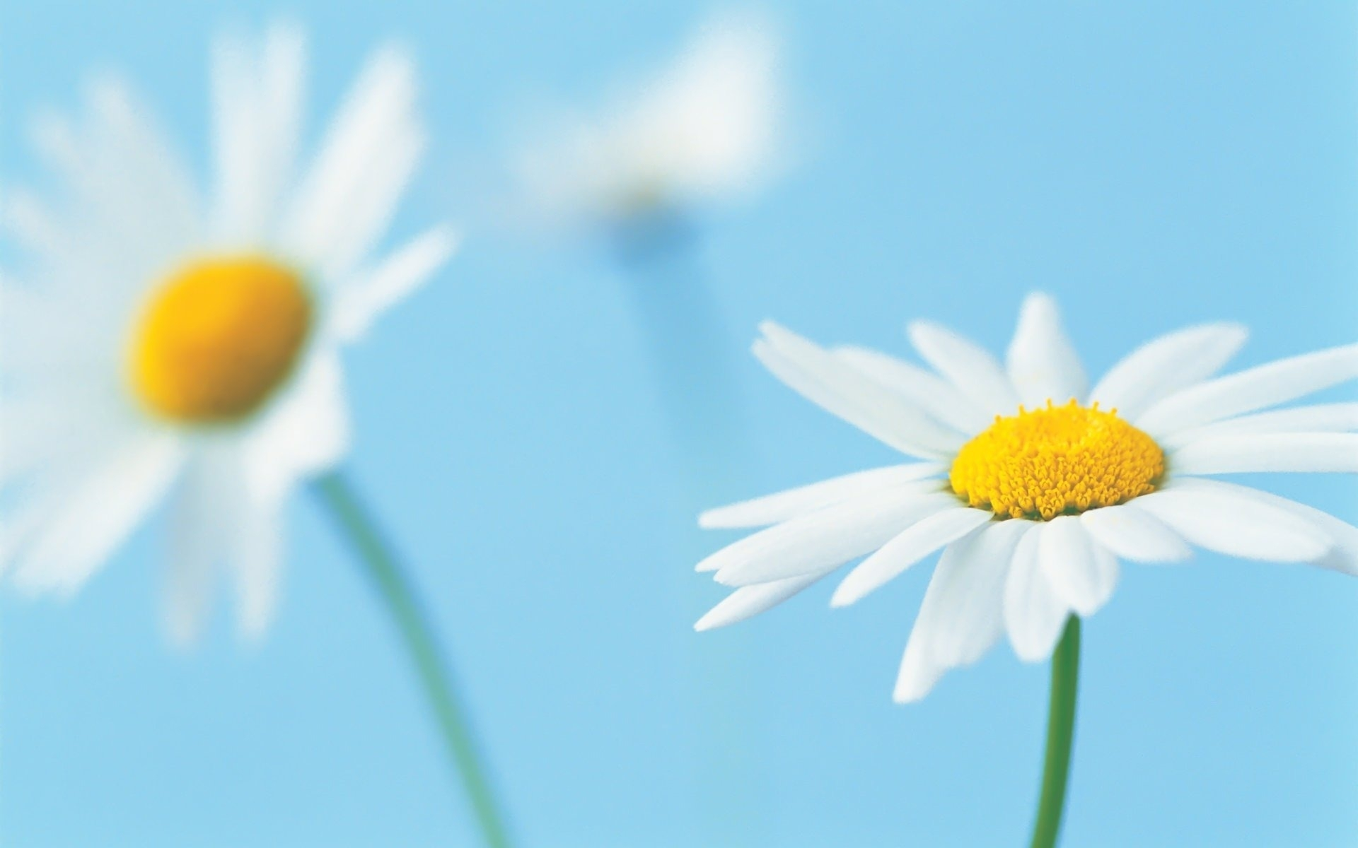 42672 скачать обои Растения, Цветы, Ромашки - заставки и картинки бесплатно
