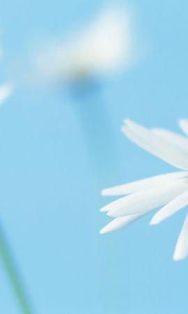 42672 télécharger le fond d'écran Plantes, Fleurs, Camomille - économiseurs d'écran et images gratuitement