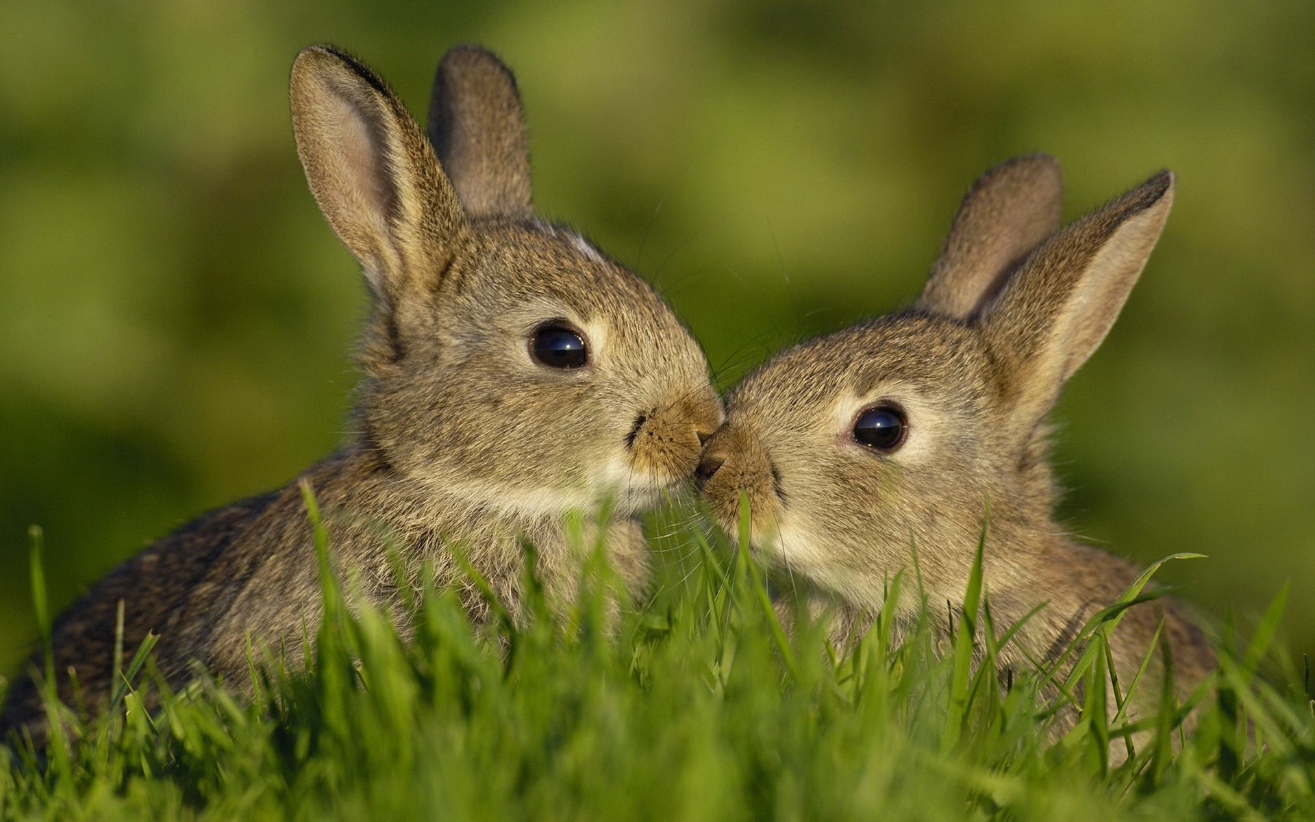 46138 download wallpaper Animals, Rabbits screensavers and pictures for free