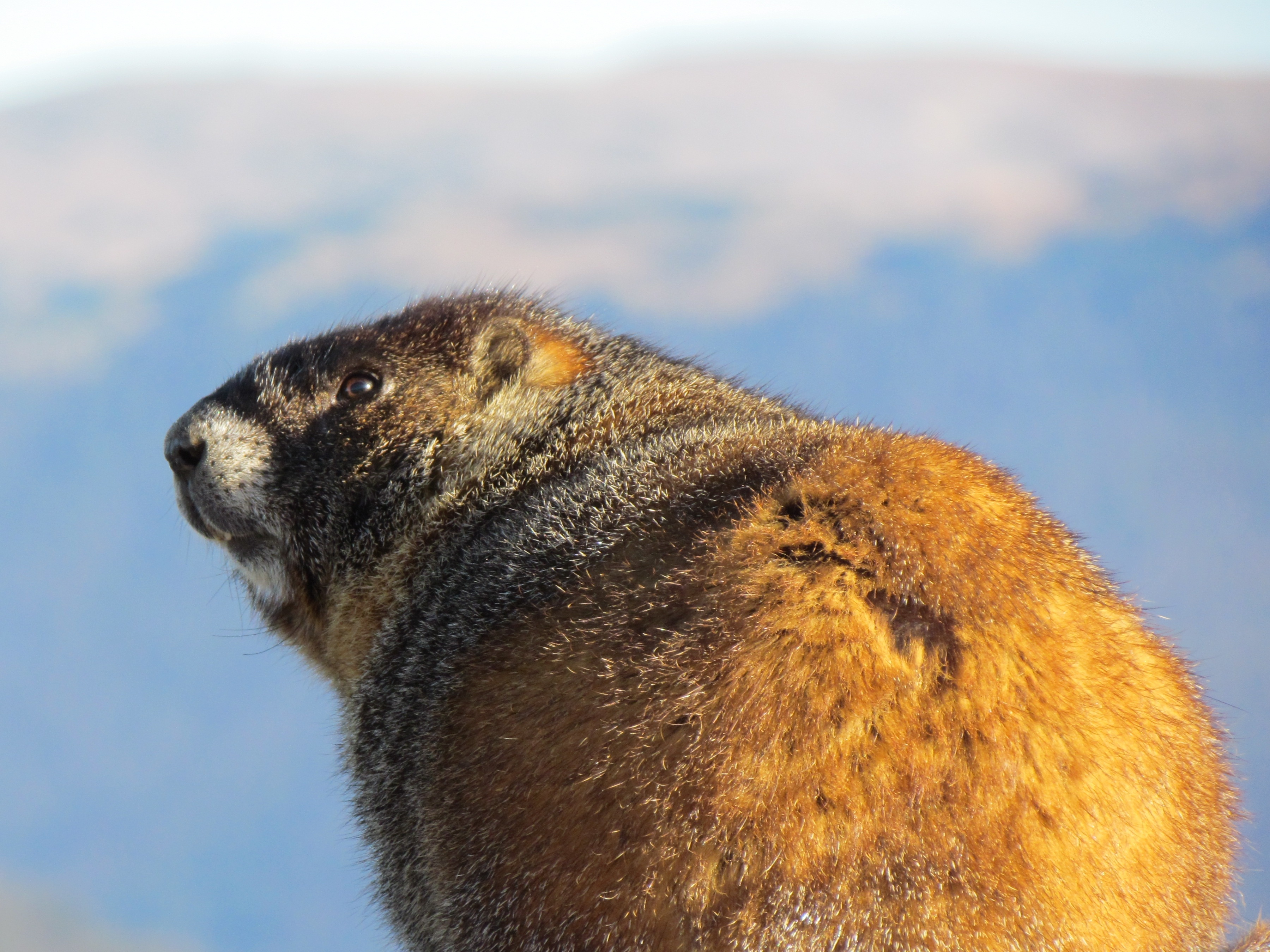 108001 download wallpaper Animals, Marmot, Fat, Thick, Cool screensavers and pictures for free