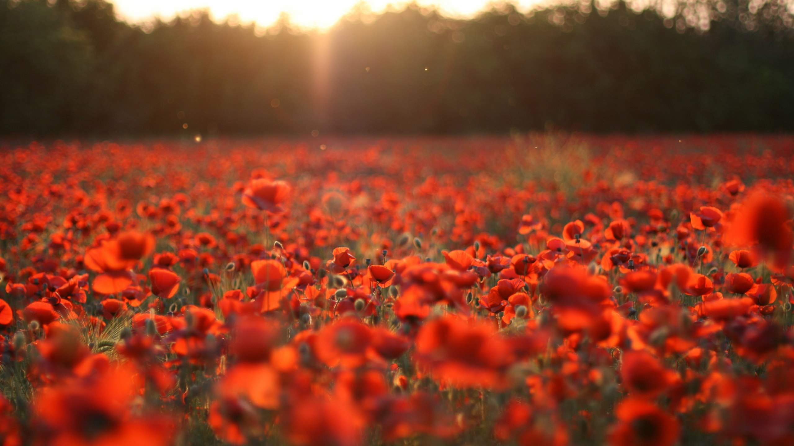 22735 скачать обои Растения, Пейзаж, Цветы, Поля, Маки, Солнце - заставки и картинки бесплатно