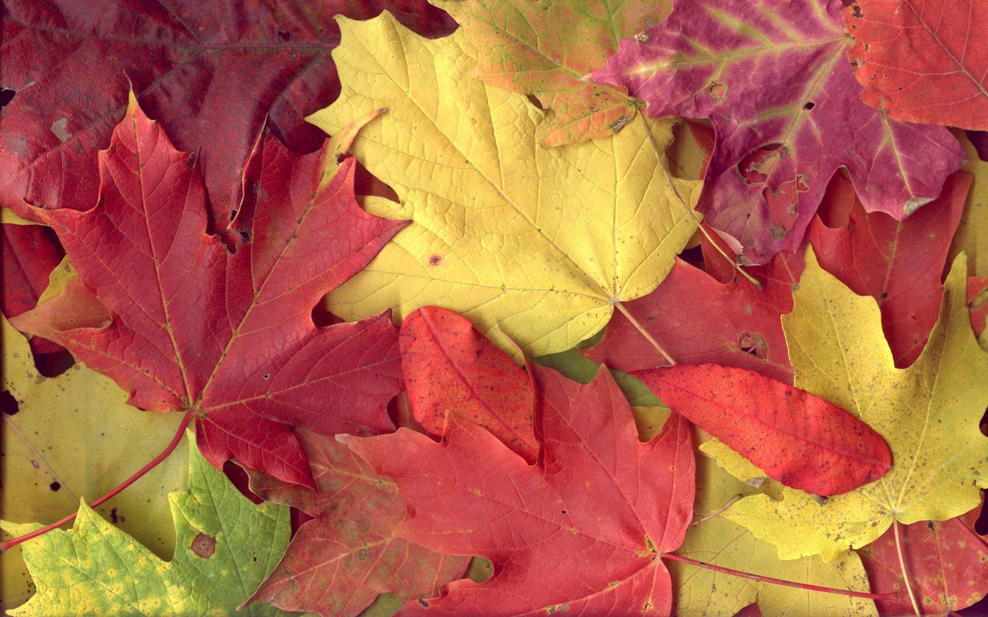 125435 скачать обои Природа, Клен, Листья, Осень - заставки и картинки бесплатно