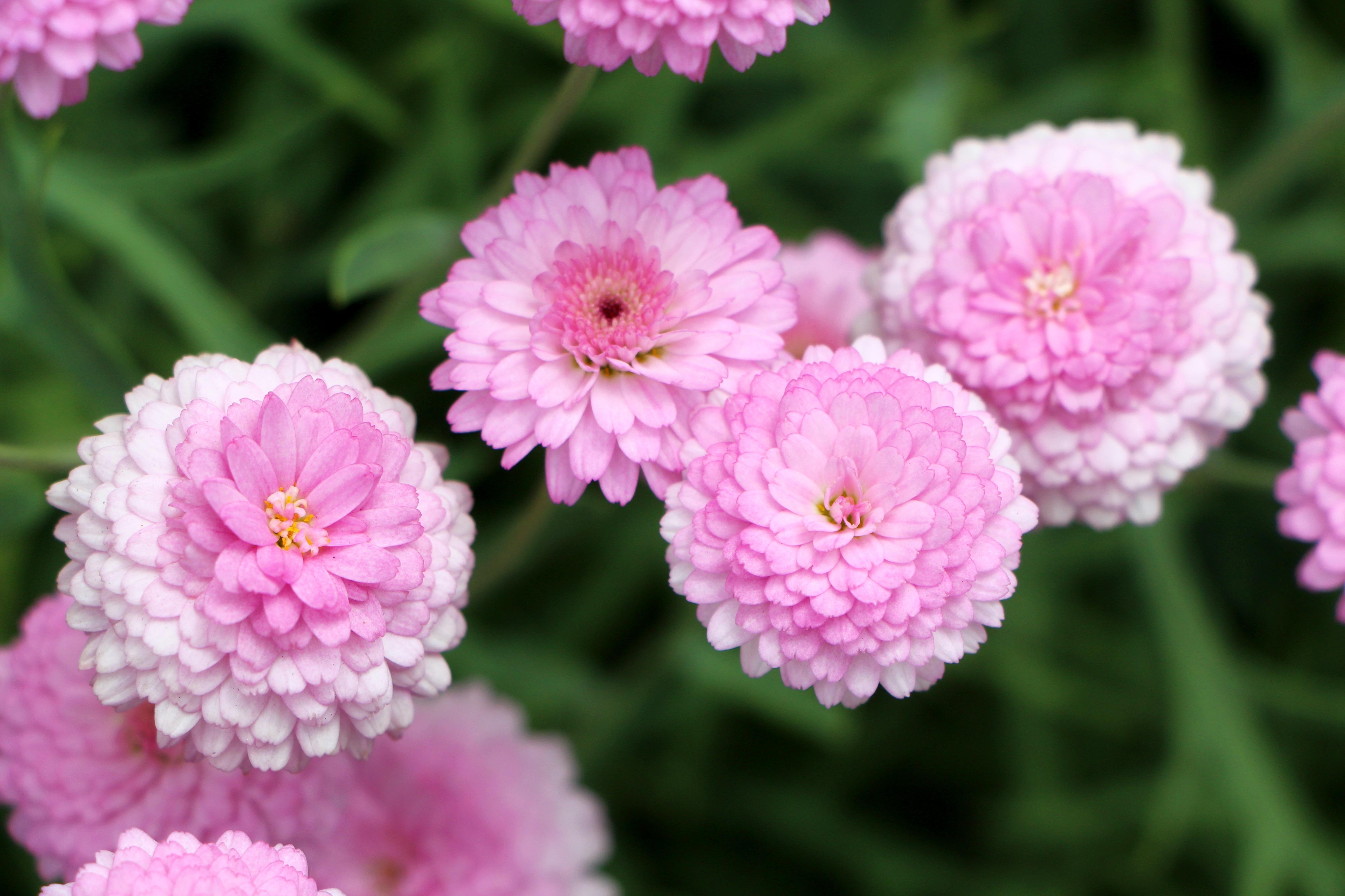 117402 скачать обои Цветы, Розовый, Хризантемы - заставки и картинки бесплатно