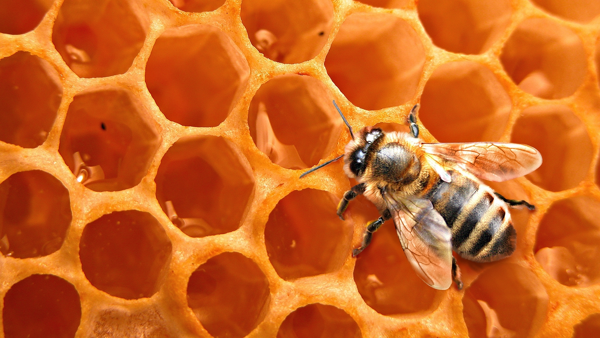 43697 Screensavers and Wallpapers Bees for phone. Download Insects, Bees, Wasps pictures for free
