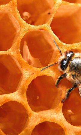 43697 télécharger le fond d'écran Insectes, Abeilles, Wasps - économiseurs d'écran et images gratuitement