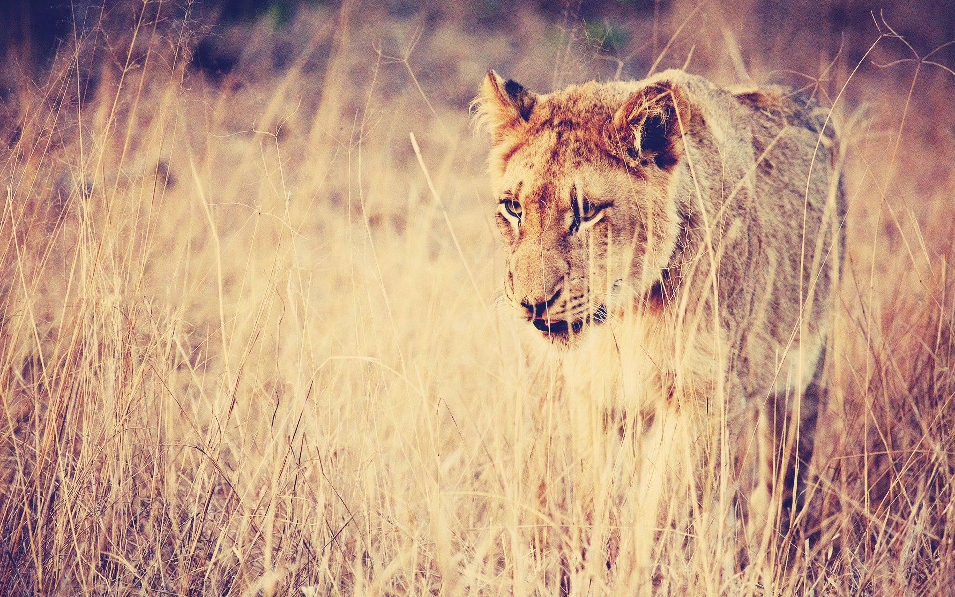 61524 download wallpaper Animals, Lion, Grass, Predator, Big Cat screensavers and pictures for free