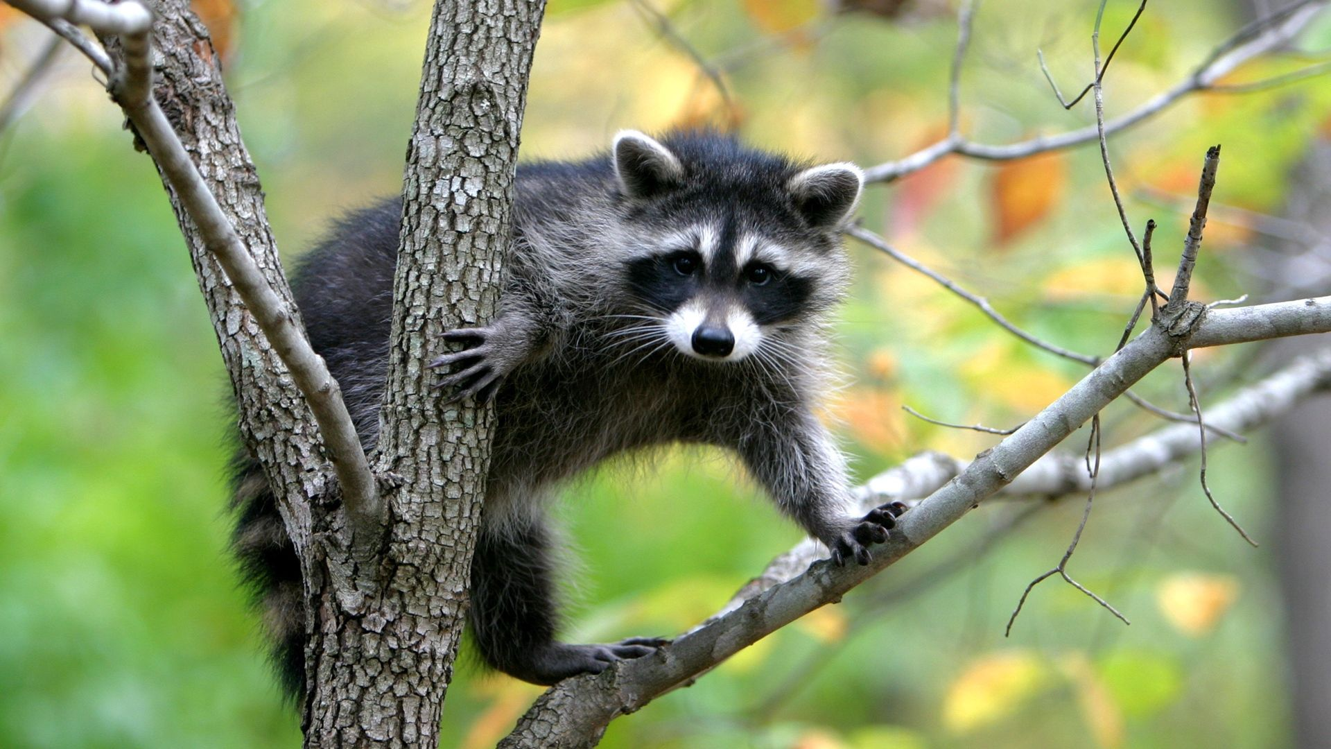 113807 Screensavers and Wallpapers Raccoon for phone. Download Animals, Trees, Branches, Animal, Climb, Raccoon pictures for free