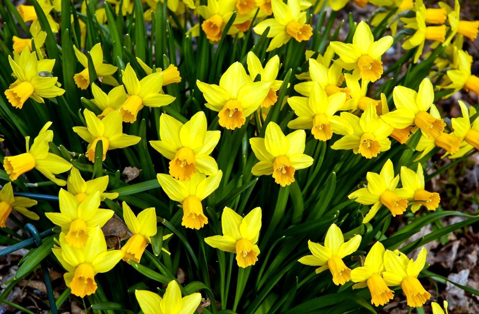 144622 Заставки и Обои Нарциссы на телефон. Скачать Цветы, Нарциссы, Клумба, Весна картинки бесплатно