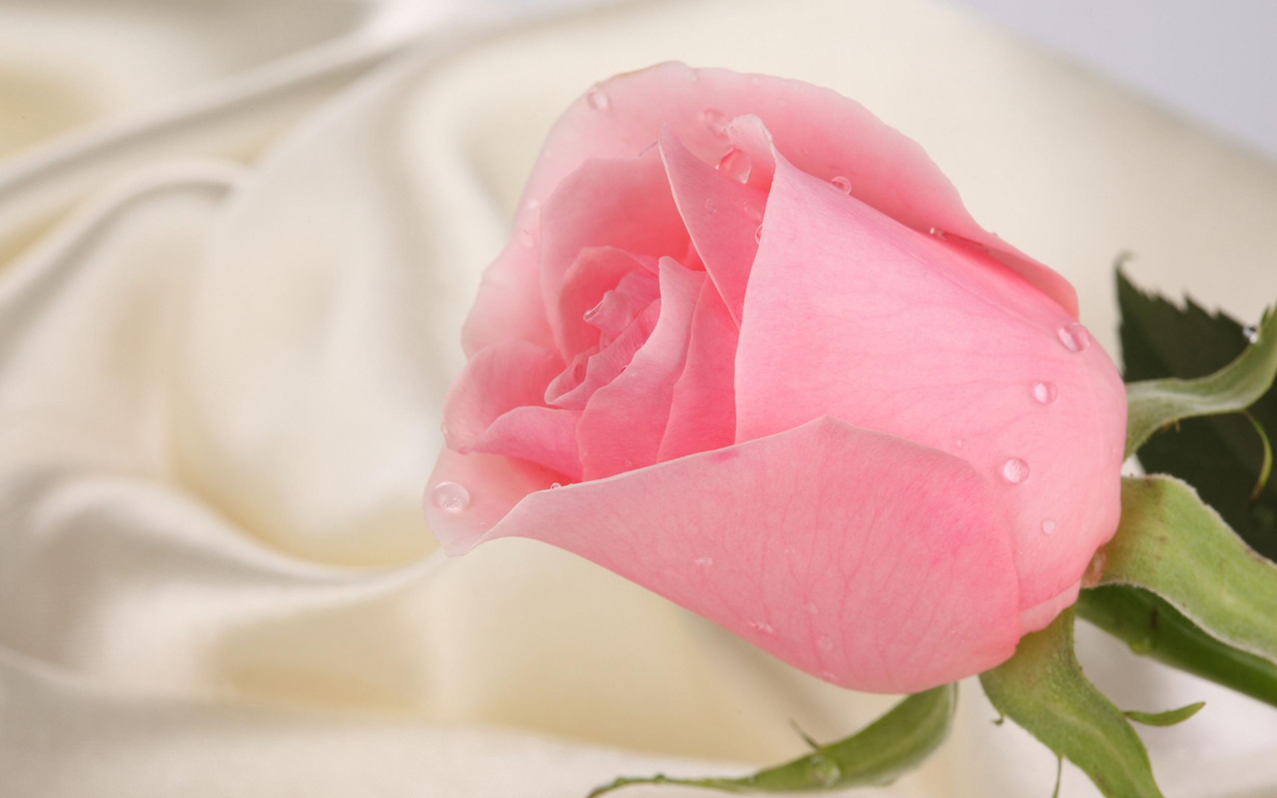 36631 скачать Красные обои на телефон бесплатно, Растения, Цветы, Розы Красные картинки и заставки на мобильный