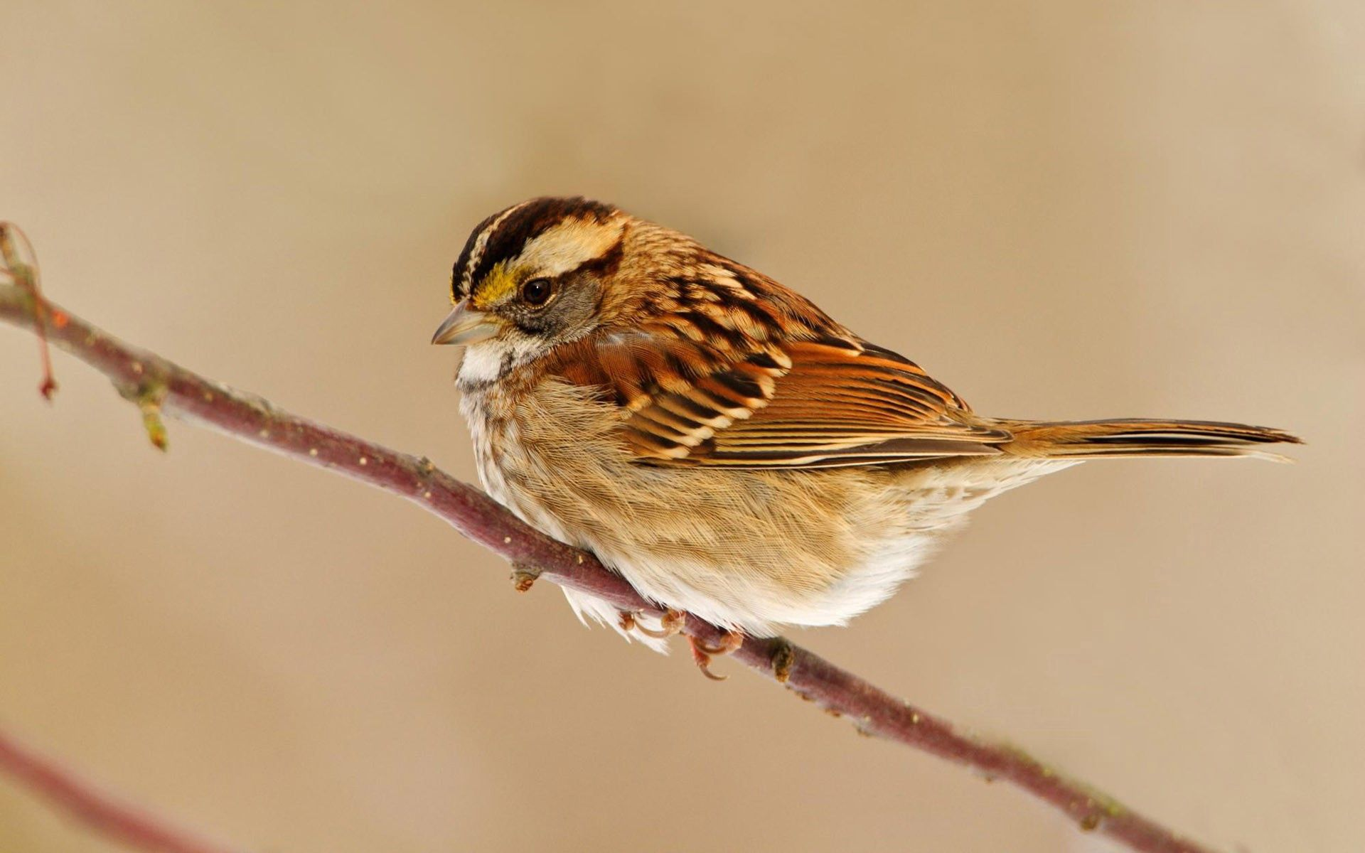 101043 Screensavers and Wallpapers Sit for phone. Download Animals, Bird, Sit, Sparrow, Branch pictures for free