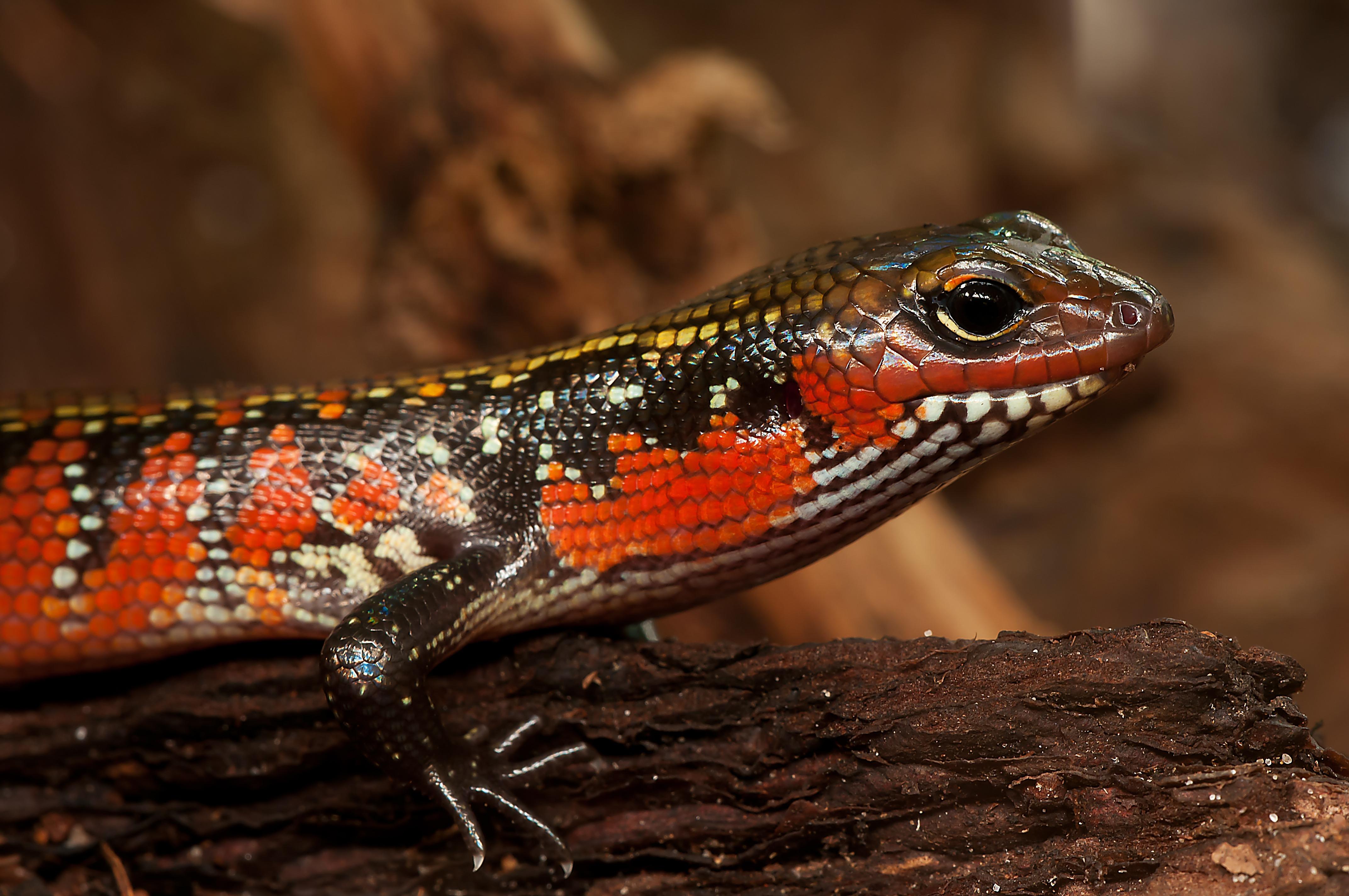 67982 Hintergrundbild herunterladen Tiere, Farbe, Eidechse, Reptil, Reptile, Skink, Schuppentier - Bildschirmschoner und Bilder kostenlos
