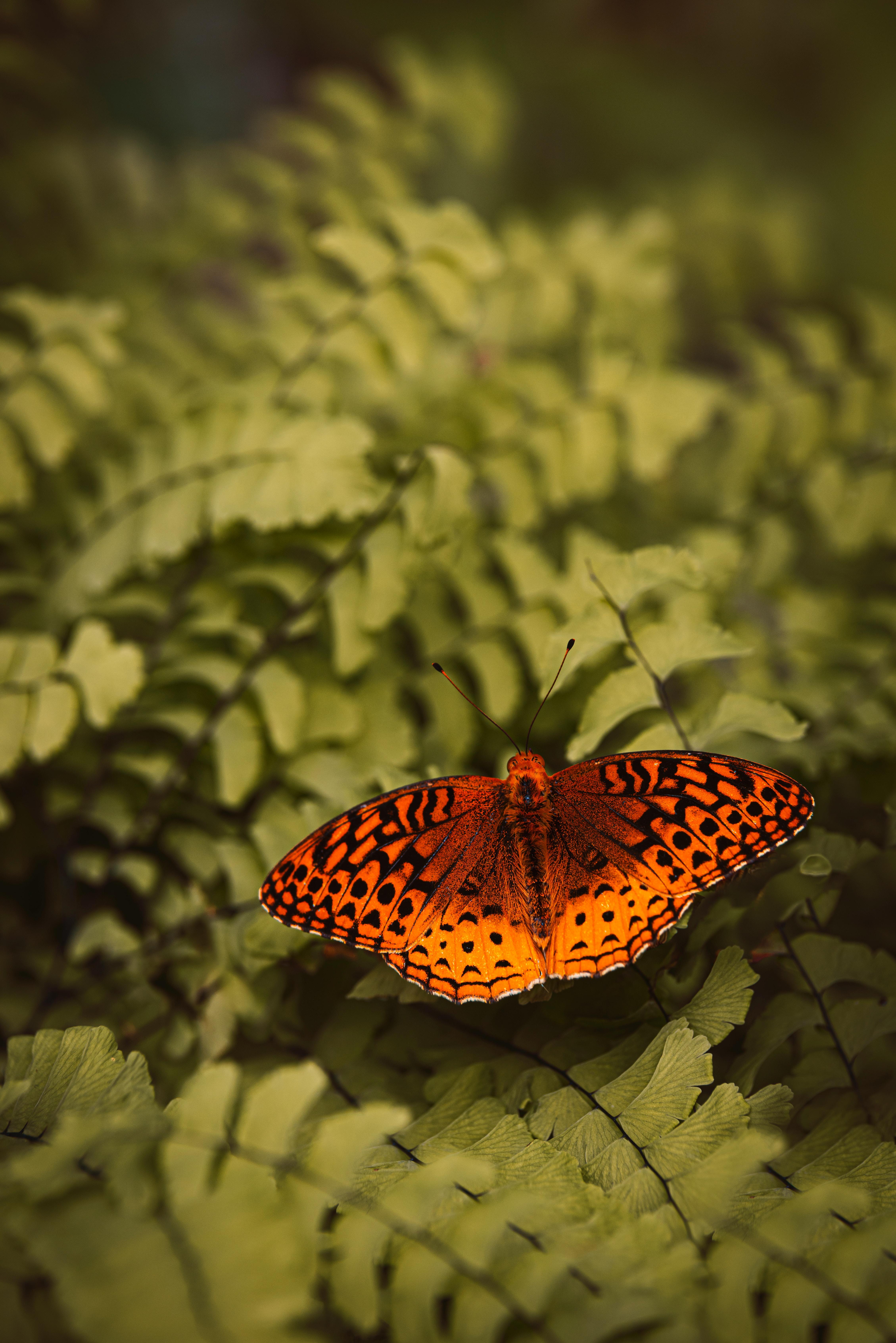 手機的111017屏保和壁紙昆虫。 免費下載 宏, 珍珠母 Euphrosine, 杜芙罗辛珍珠, 蝴蝶, 昆虫, 蕨类, 铁杉, 植物 圖片