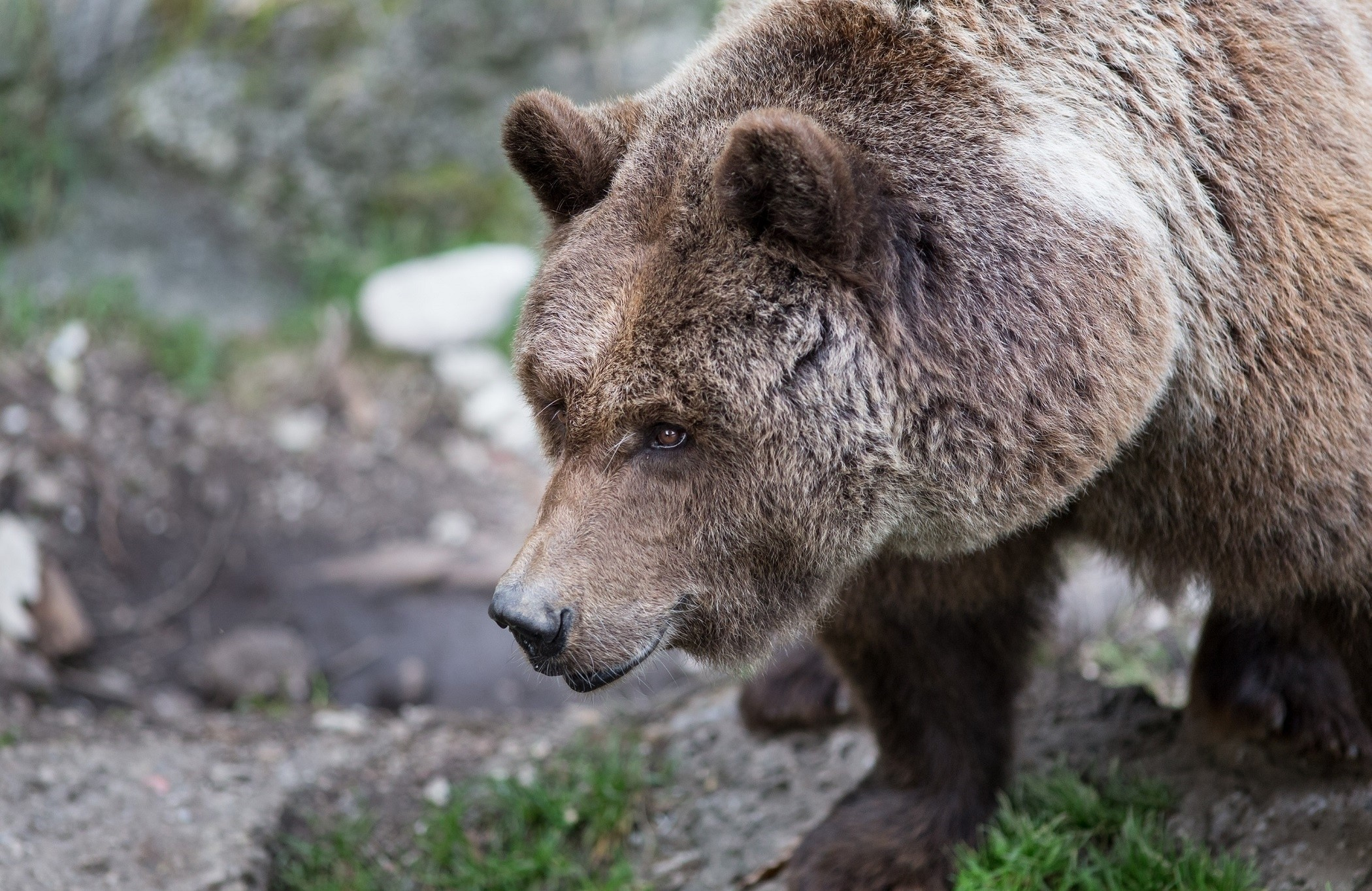 84792 Screensavers and Wallpapers Bear for phone. Download Animals, Grass, Brown, Bear, Wool pictures for free