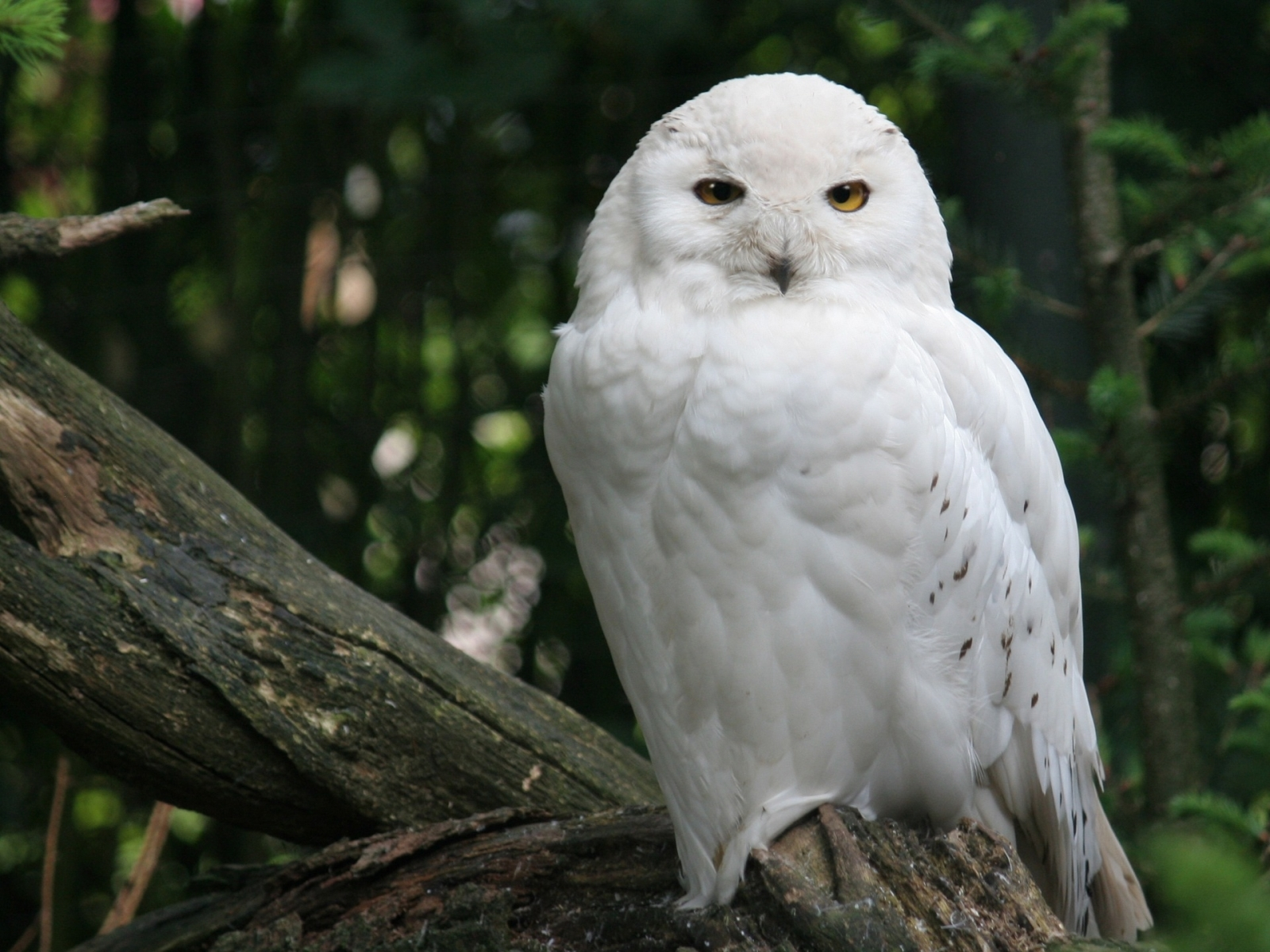 4536 download wallpaper Animals, Birds, Owl screensavers and pictures for free