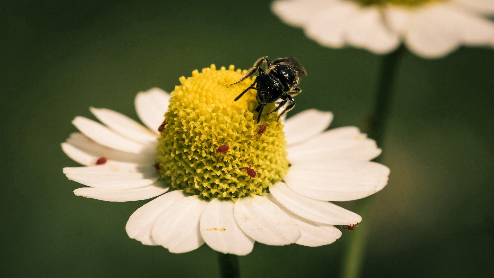 109815 download wallpaper Macro, Flower, Bee, Pollination, Chamomile, Camomile screensavers and pictures for free