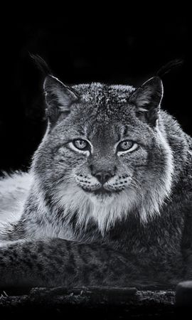 20136 download wallpaper Animals, Bobcats screensavers and pictures for free