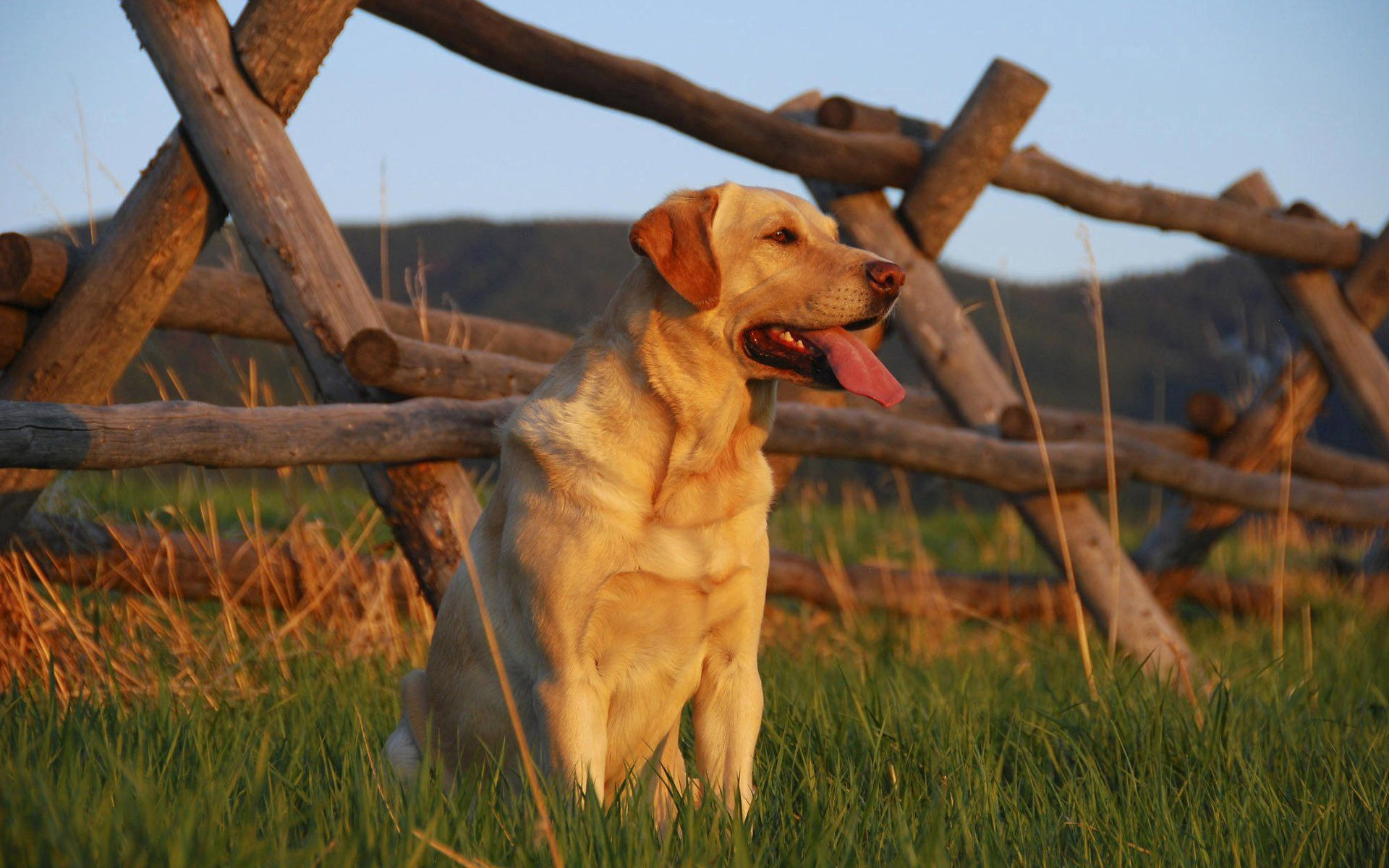 136925 download wallpaper Animals, Labrador, Sunset, Grass, Fence, Expectation, Waiting, Dog screensavers and pictures for free