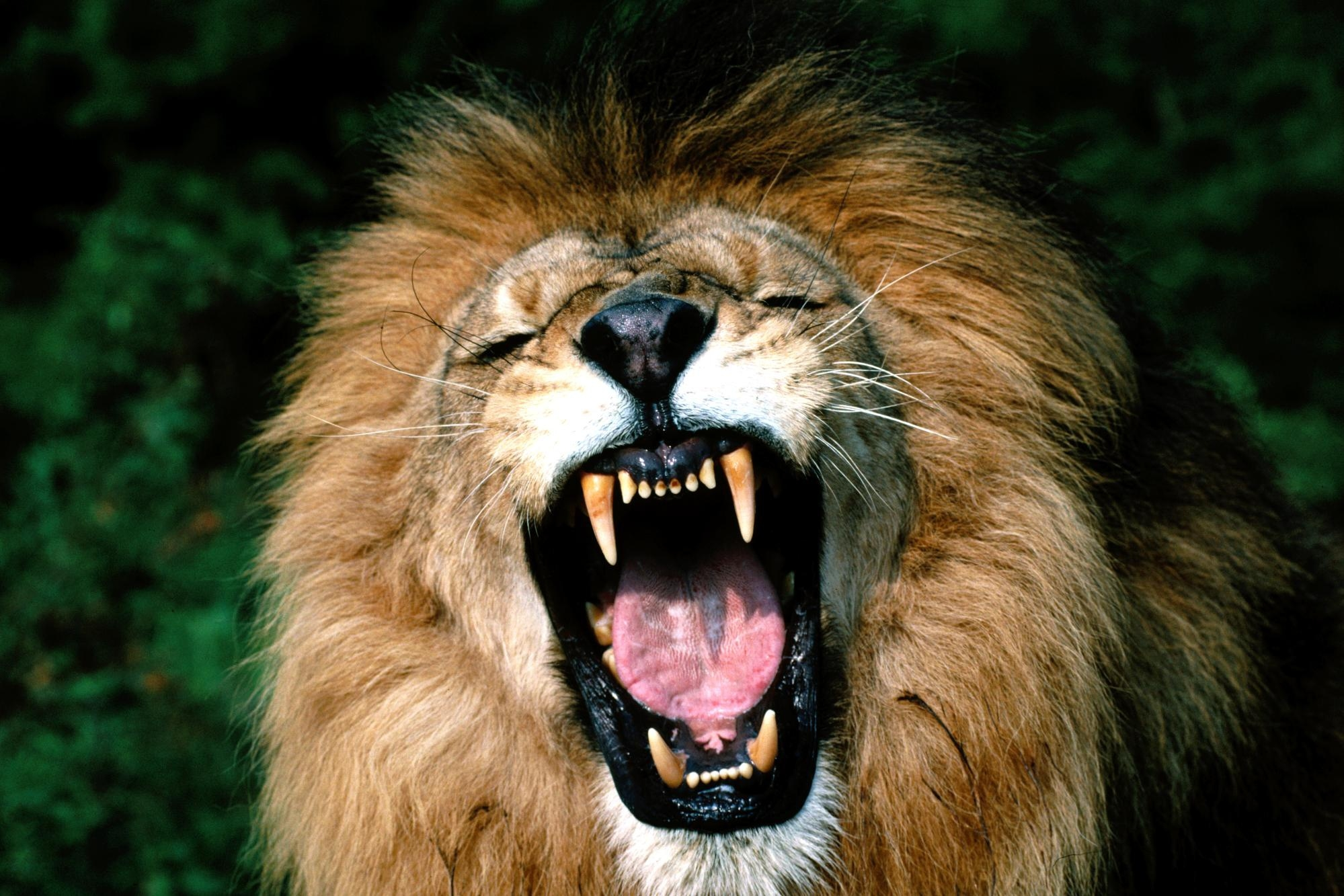 113498 download wallpaper Animals, Aggression, Grin, Muzzle, Lion, Mane, Anger screensavers and pictures for free