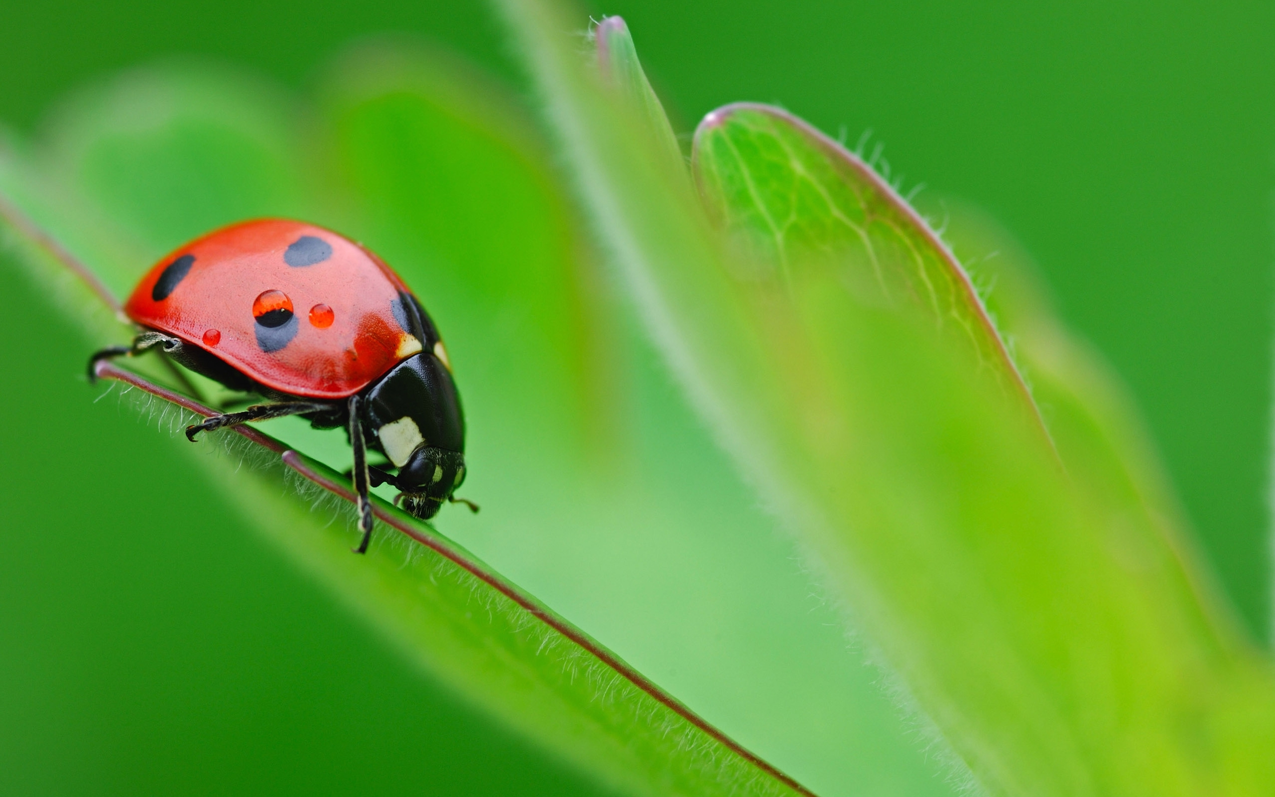 6514 download wallpaper Insects, Ladybugs screensavers and pictures for free