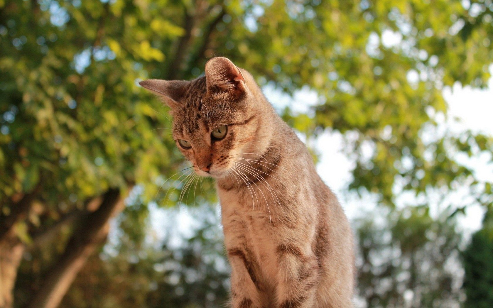 59851 download wallpaper Animals, Cat, Sky, Trees, Sight, Opinion screensavers and pictures for free