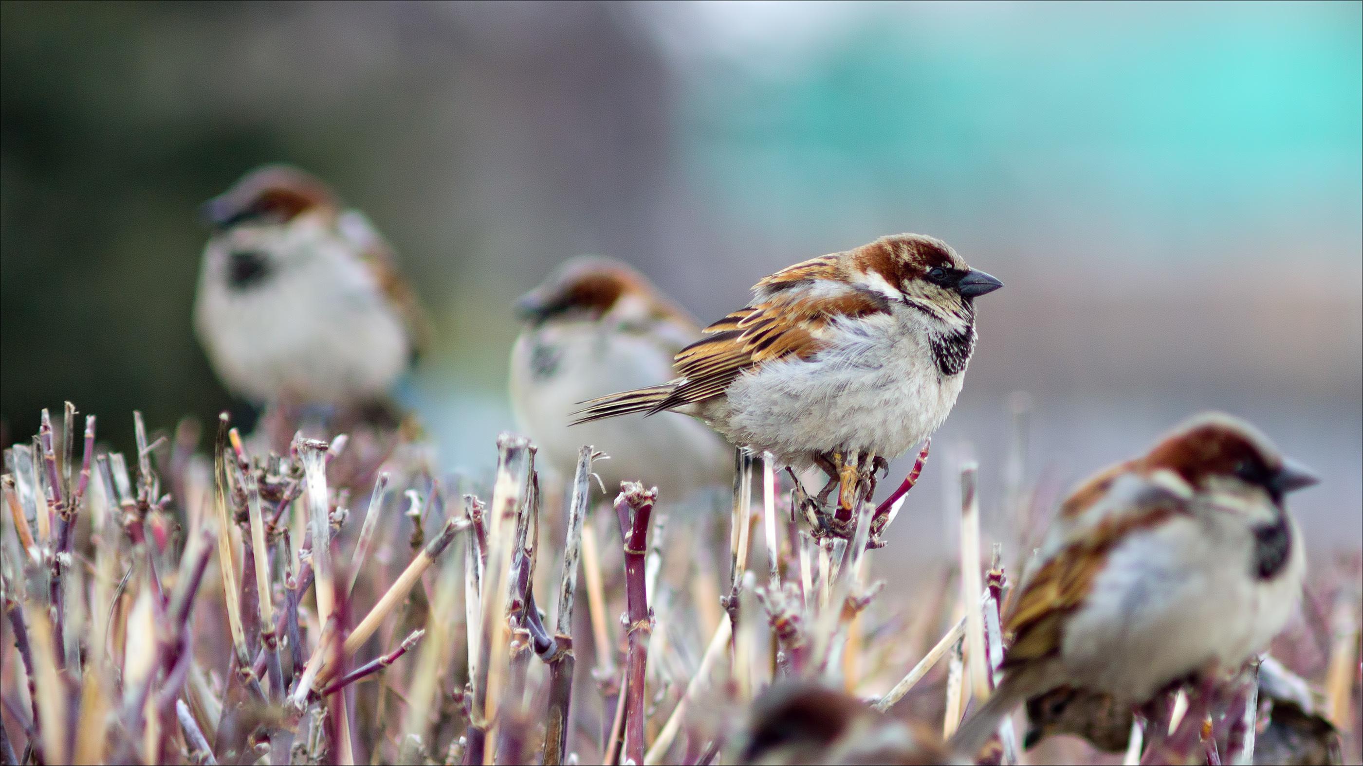 99786 Hintergrundbild herunterladen Tiere, Winterreifen, Vögel, Ast, Zweig, Spatzen - Bildschirmschoner und Bilder kostenlos