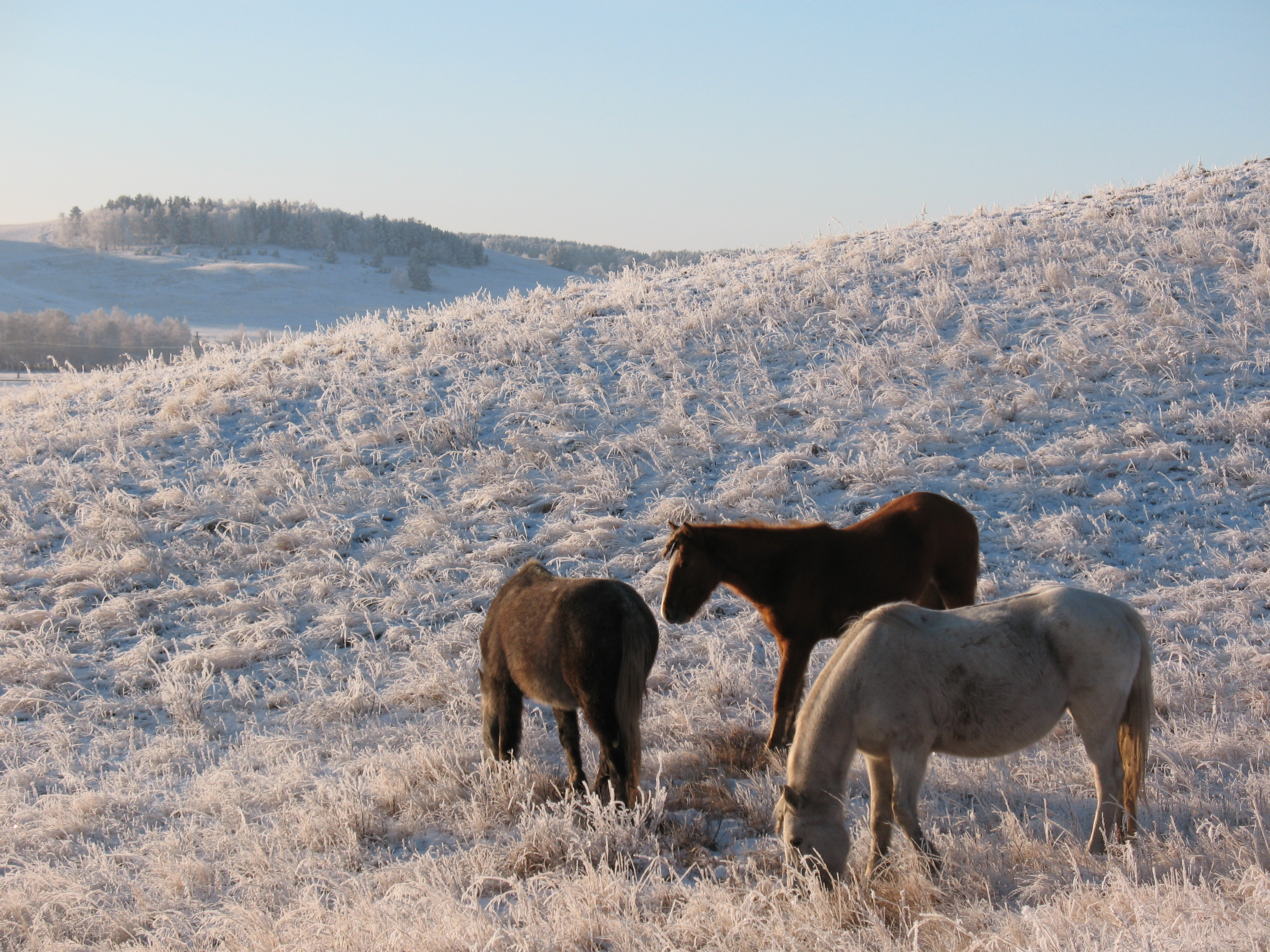 110944 download wallpaper Animals, Horses, Herd, Horse, Mare, Winter, Pasture, Frost screensavers and pictures for free