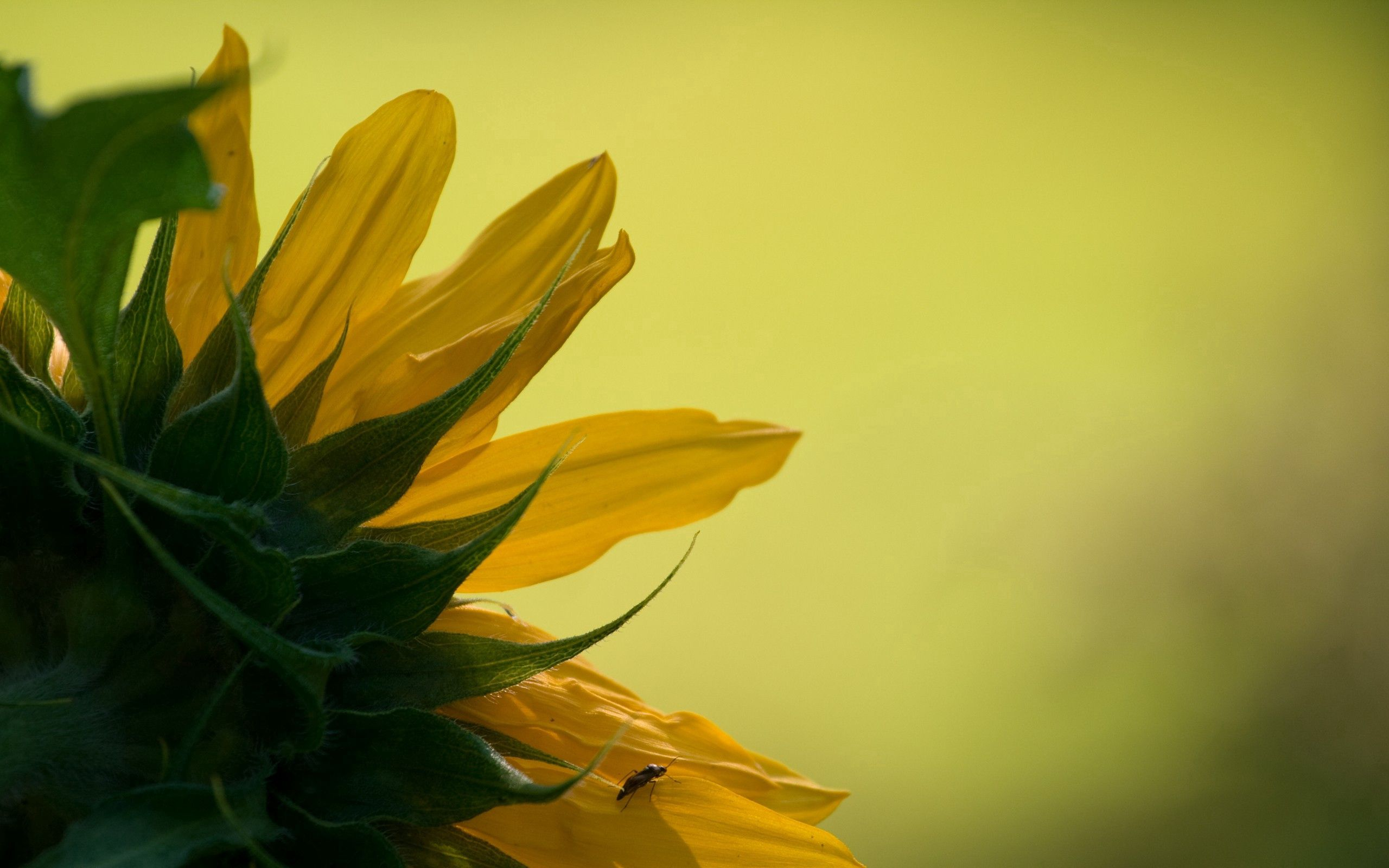 110550 download wallpaper Macro, Sunflower, Petals, Leaves, Background screensavers and pictures for free