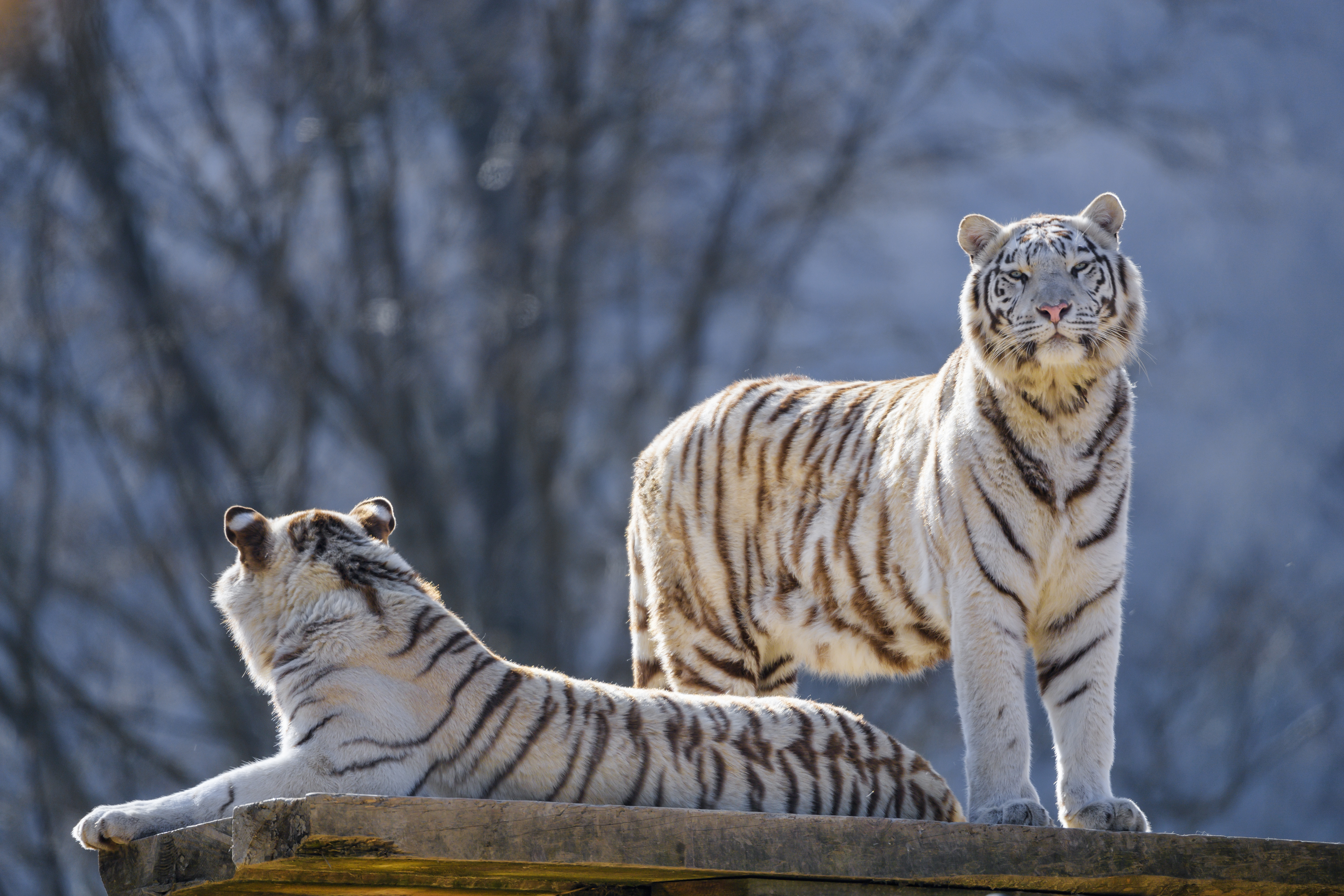 144493 Screensavers and Wallpapers Predators for phone. Download Animals, Tigers, Predators, Bengal Tigers pictures for free