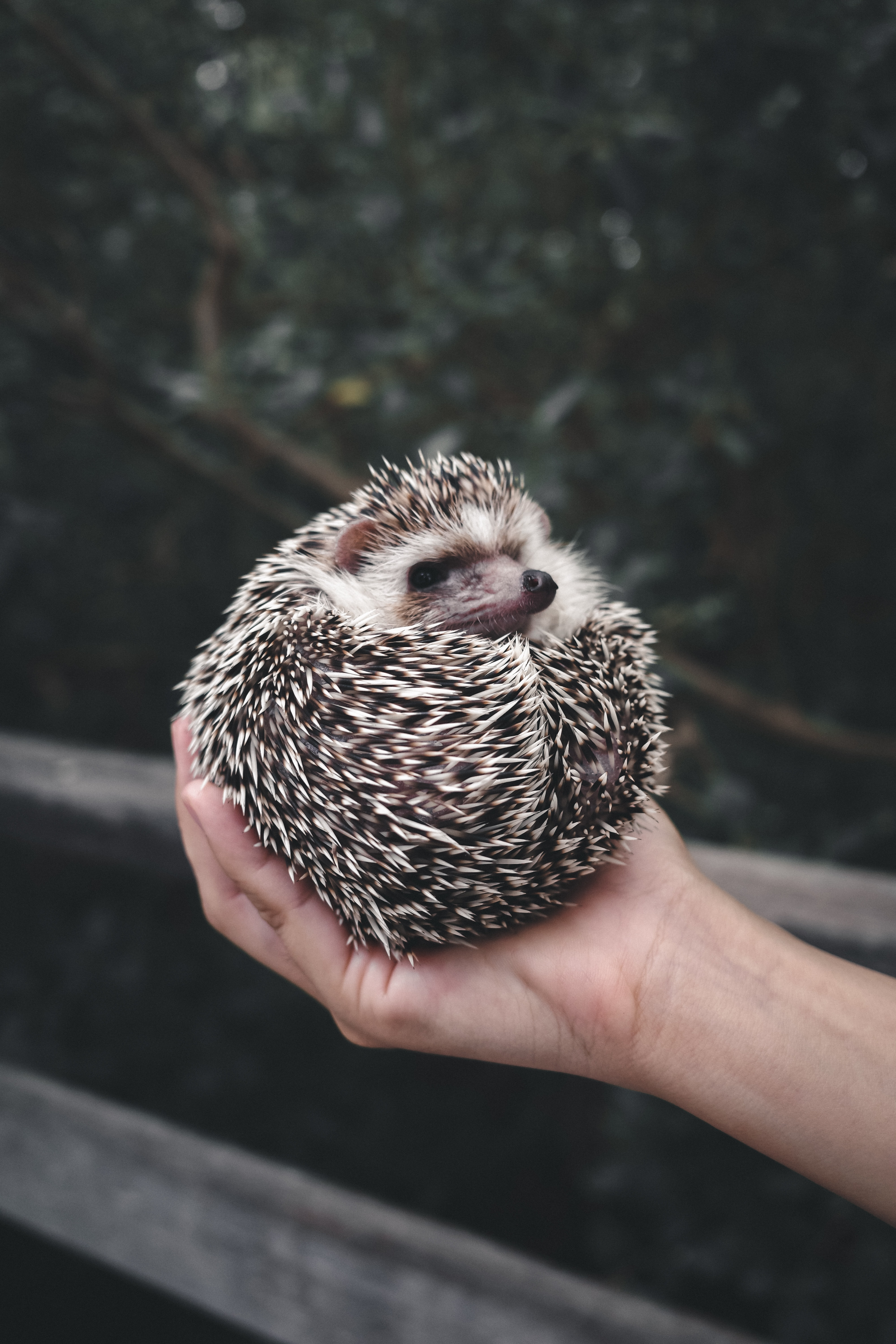 67319 download wallpaper Animals, Hedgehog, Animal, Barbed, Spiny, Hands, Nice, Sweetheart screensavers and pictures for free