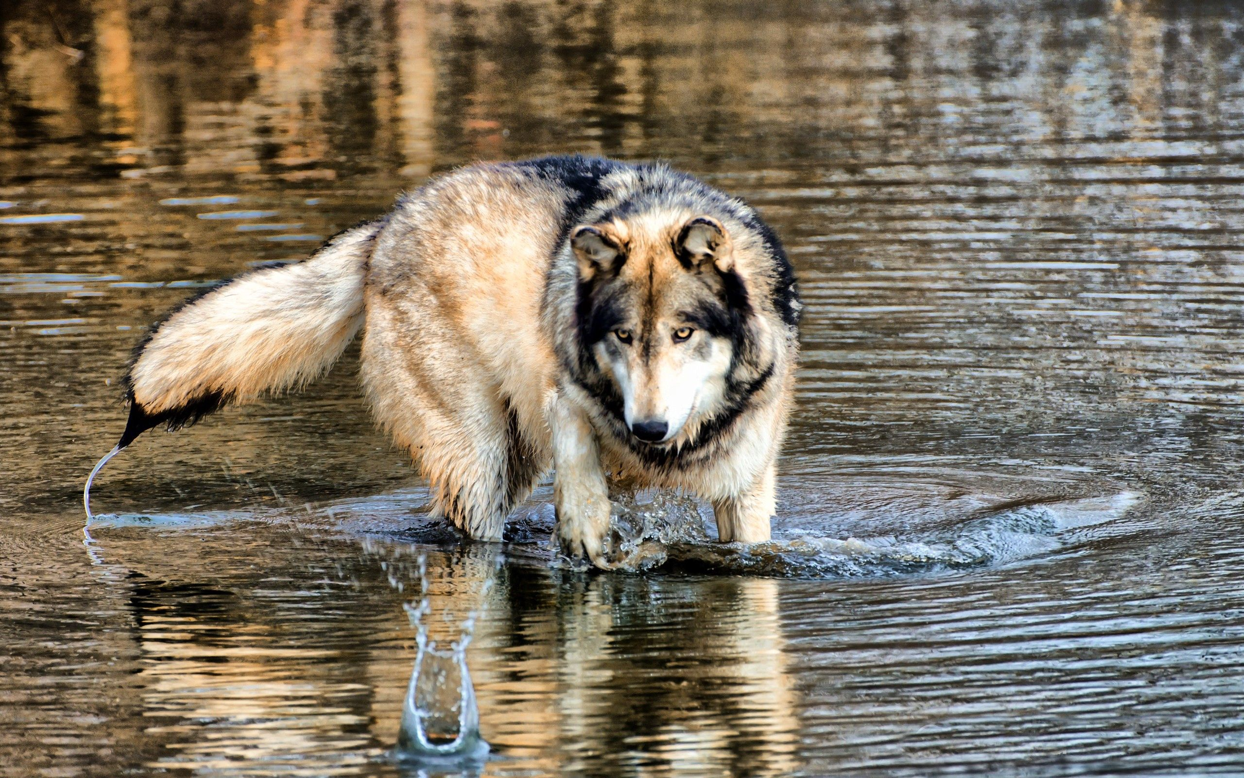 140457 download wallpaper Animals, Wolf, Water, Stroll, Hunting, Hunt, Predator screensavers and pictures for free