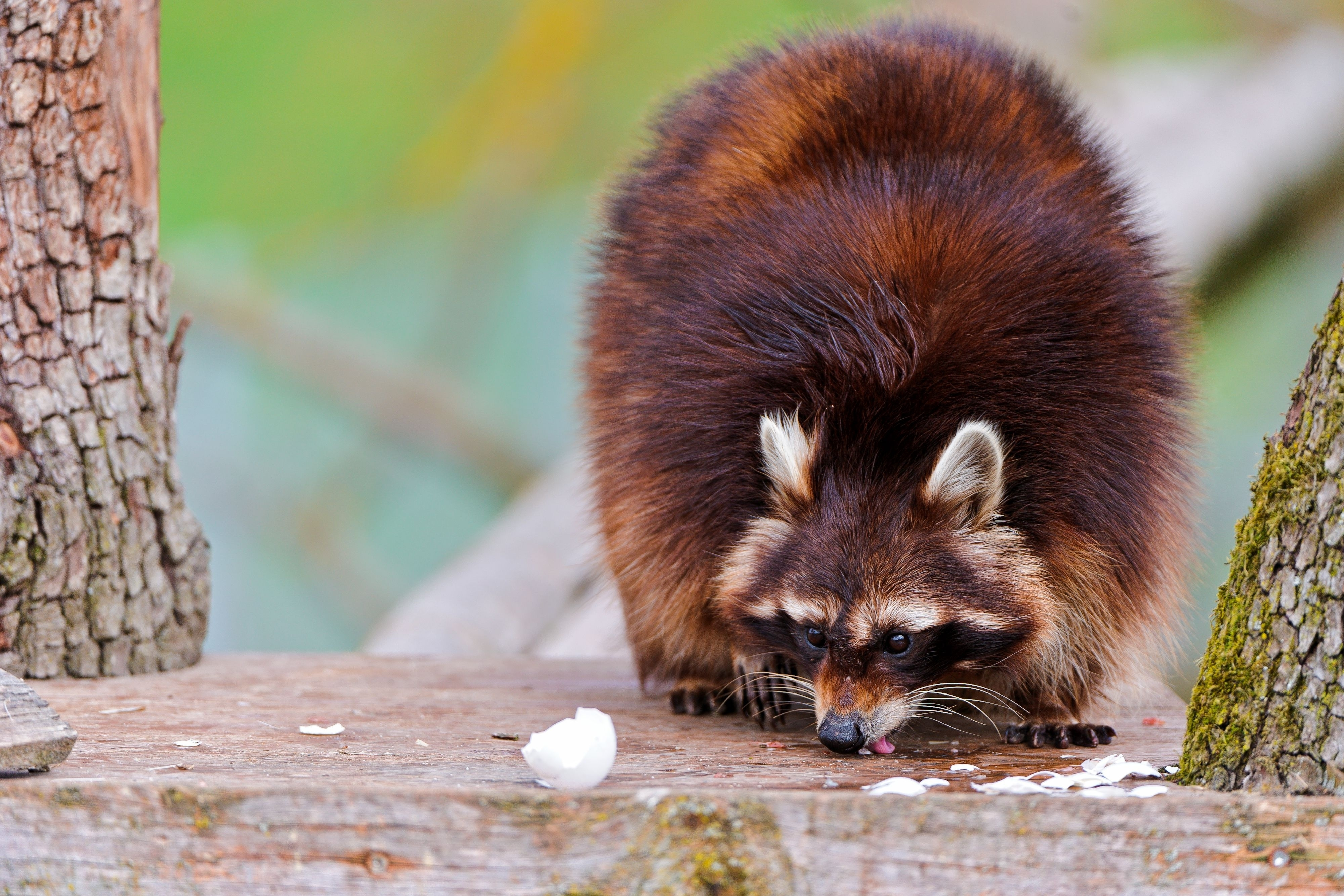 111344 Screensavers and Wallpapers Raccoon for phone. Download Animals, Food, Fluffy, Climb, Raccoon pictures for free