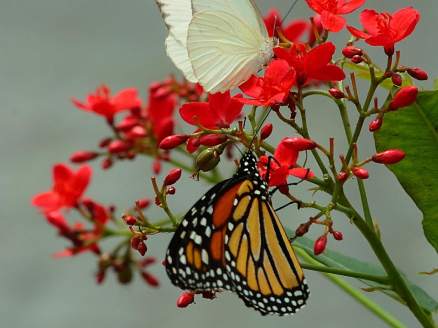 29295 скачать обои Бабочки, Насекомые - заставки и картинки бесплатно
