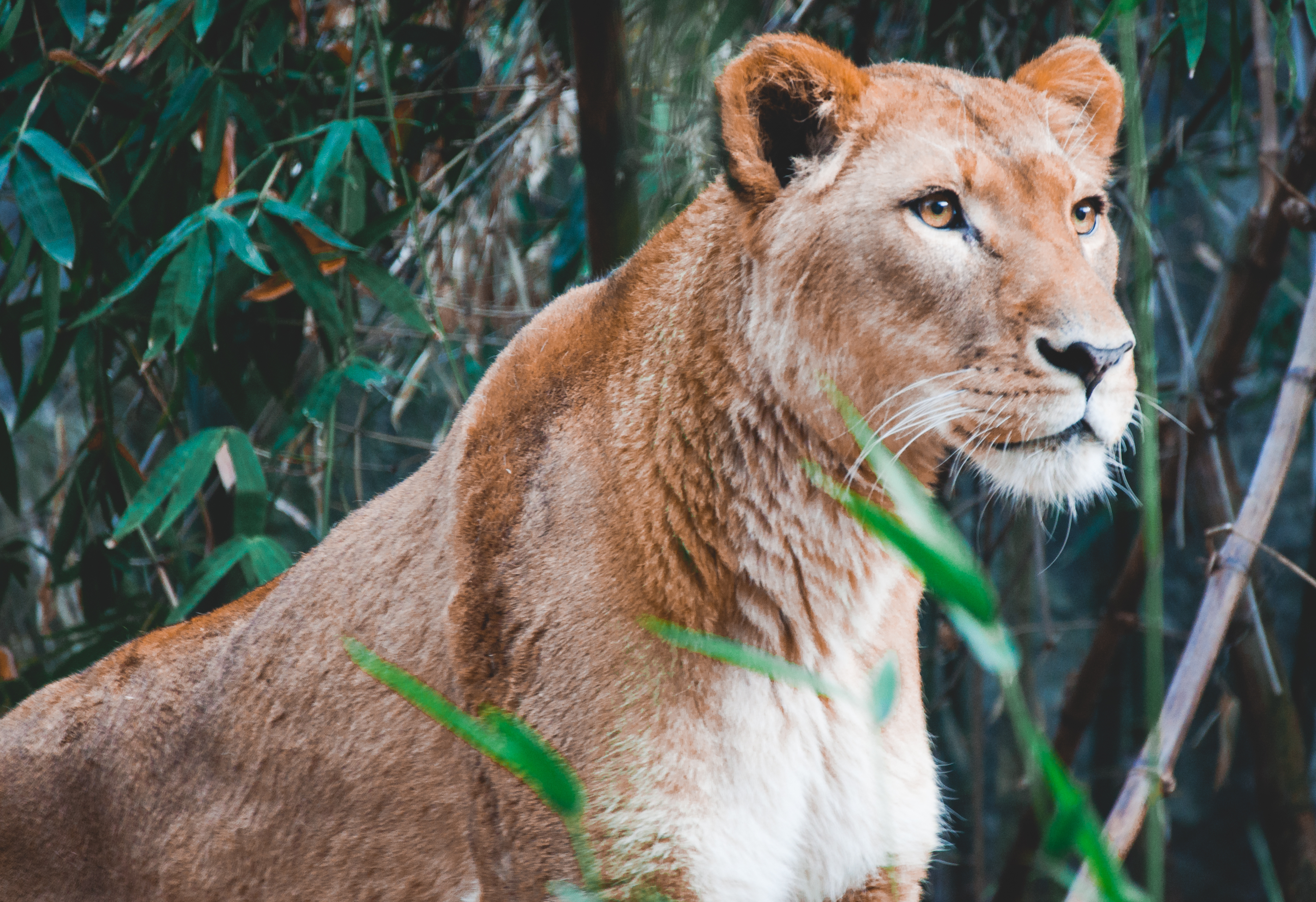 105923 download wallpaper Animals, Lioness, Lion, Predator, Big Cat screensavers and pictures for free