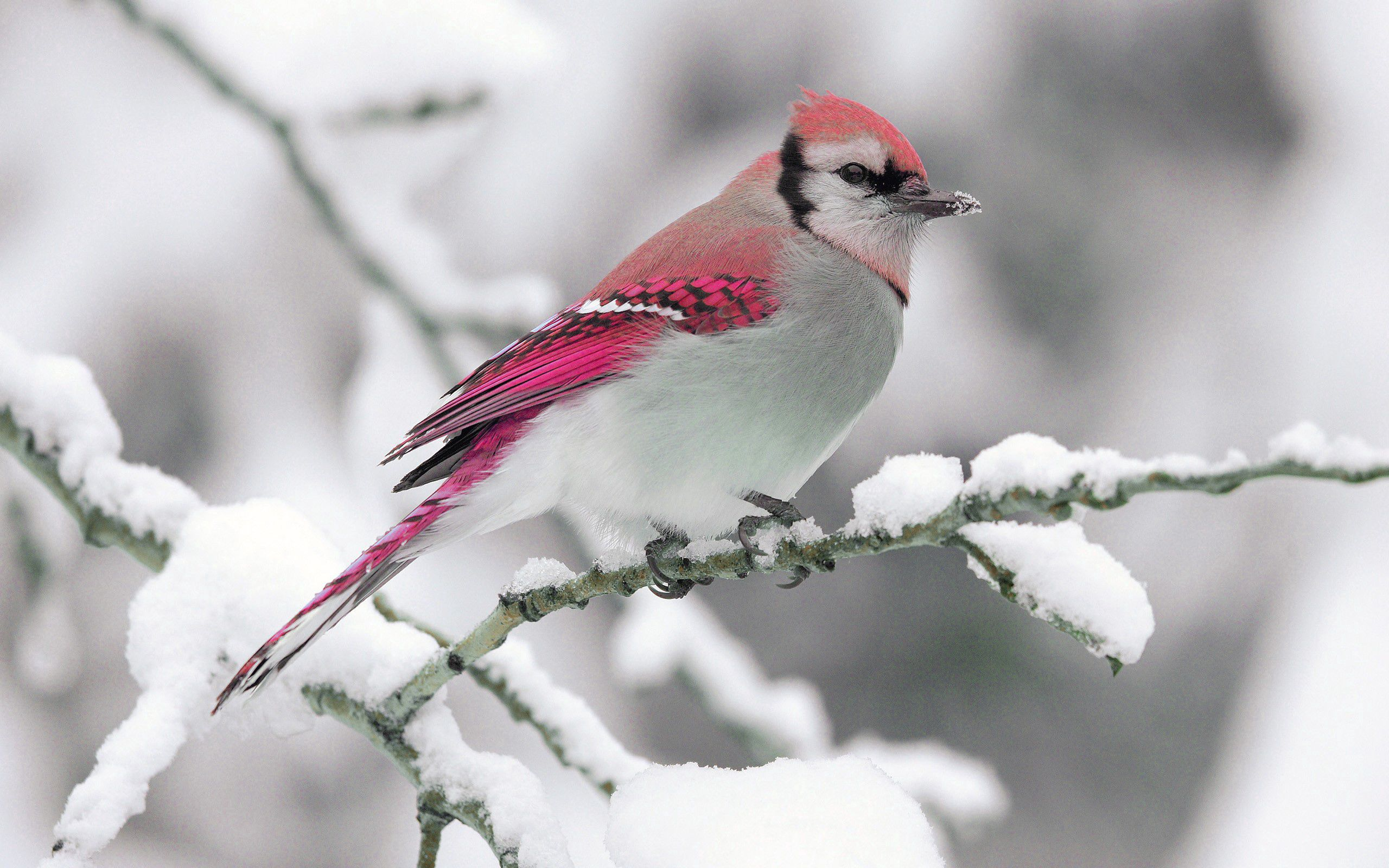 152762 download wallpaper Animals, Bird, Winter, Snow, Branch, Nature screensavers and pictures for free
