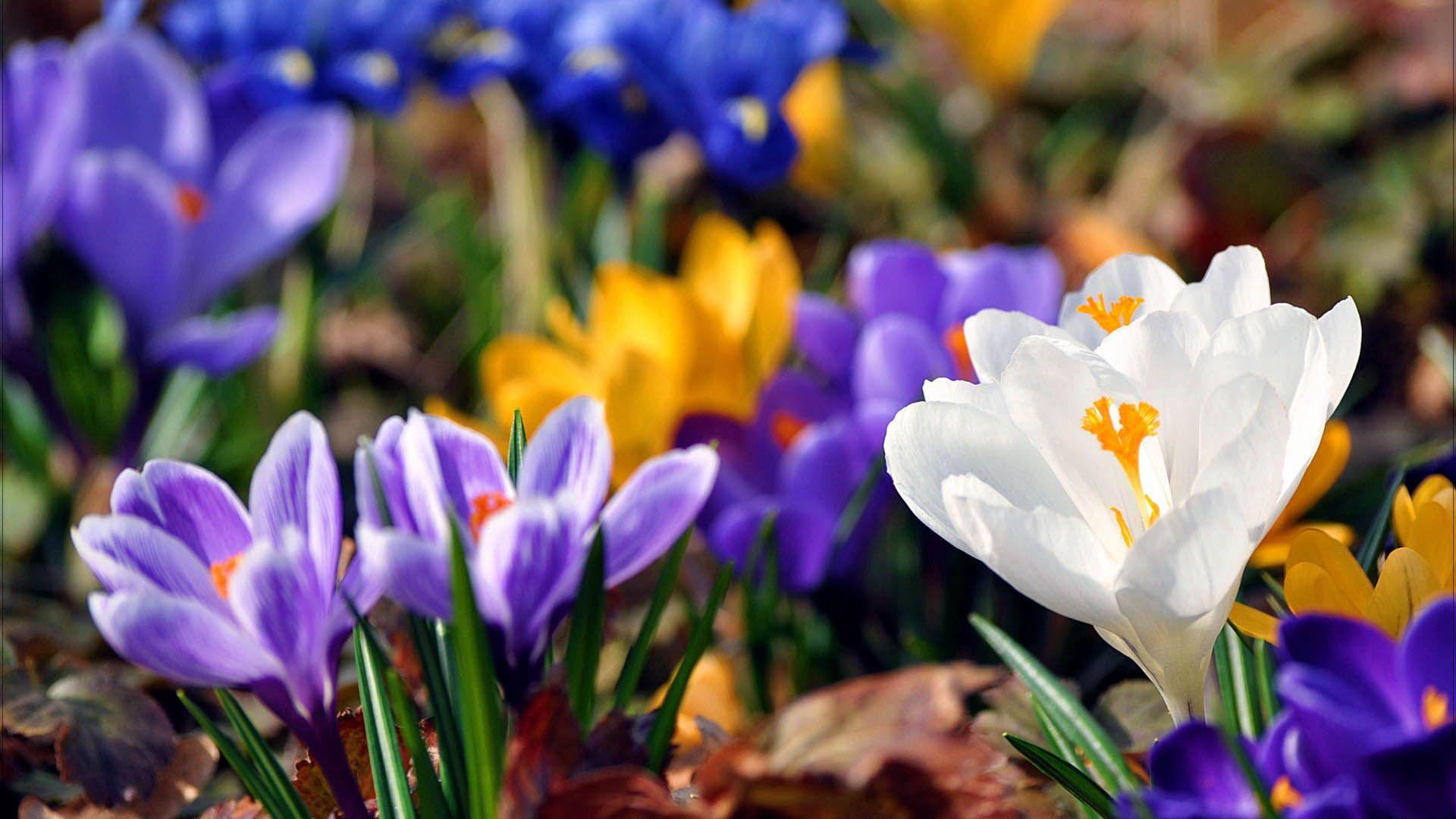 85313 Заставки и Обои Подснежники на телефон. Скачать Цветы, Подснежники, Растение, Цветение картинки бесплатно