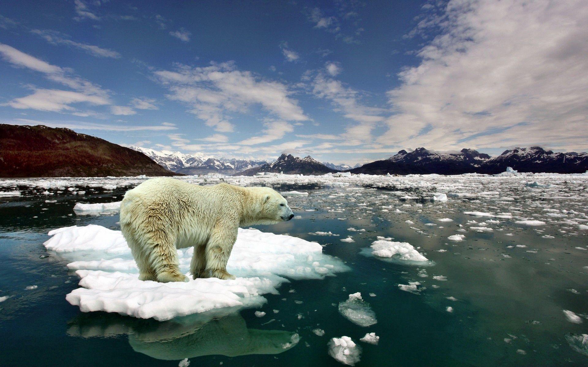 93643 скачать обои Животные, Медведь, Полярный Медведь, Лед, Снег, Холод - заставки и картинки бесплатно