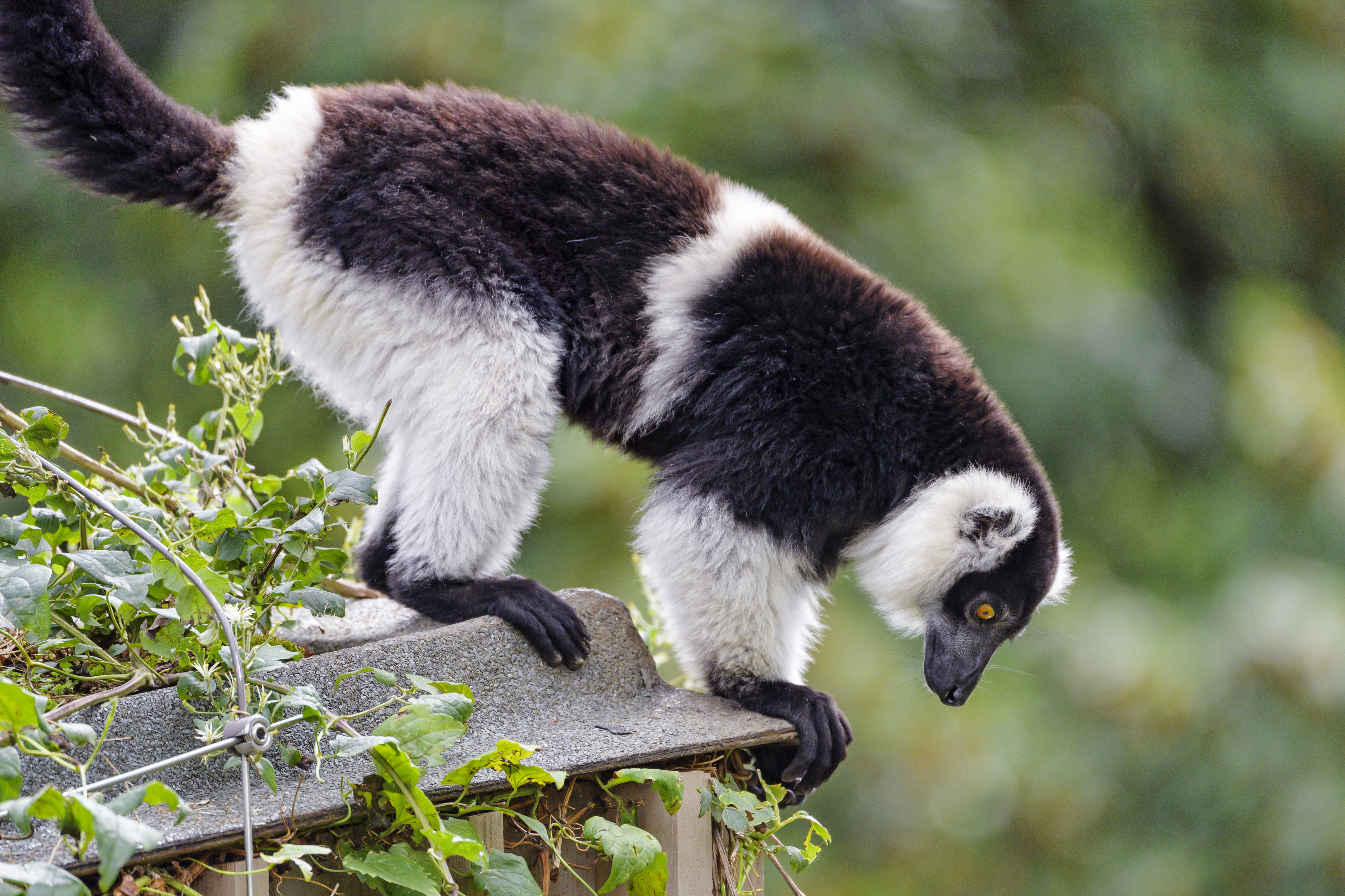 92503 download wallpaper Animals, Lemur, Animal, Profile, Sight, Opinion screensavers and pictures for free