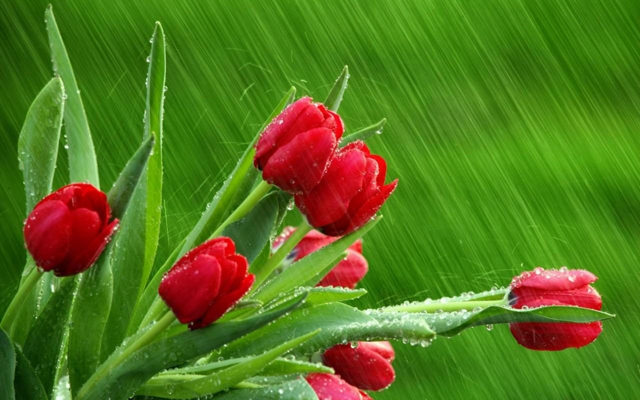45451 скачать обои Растения, Цветы, Тюльпаны - заставки и картинки бесплатно