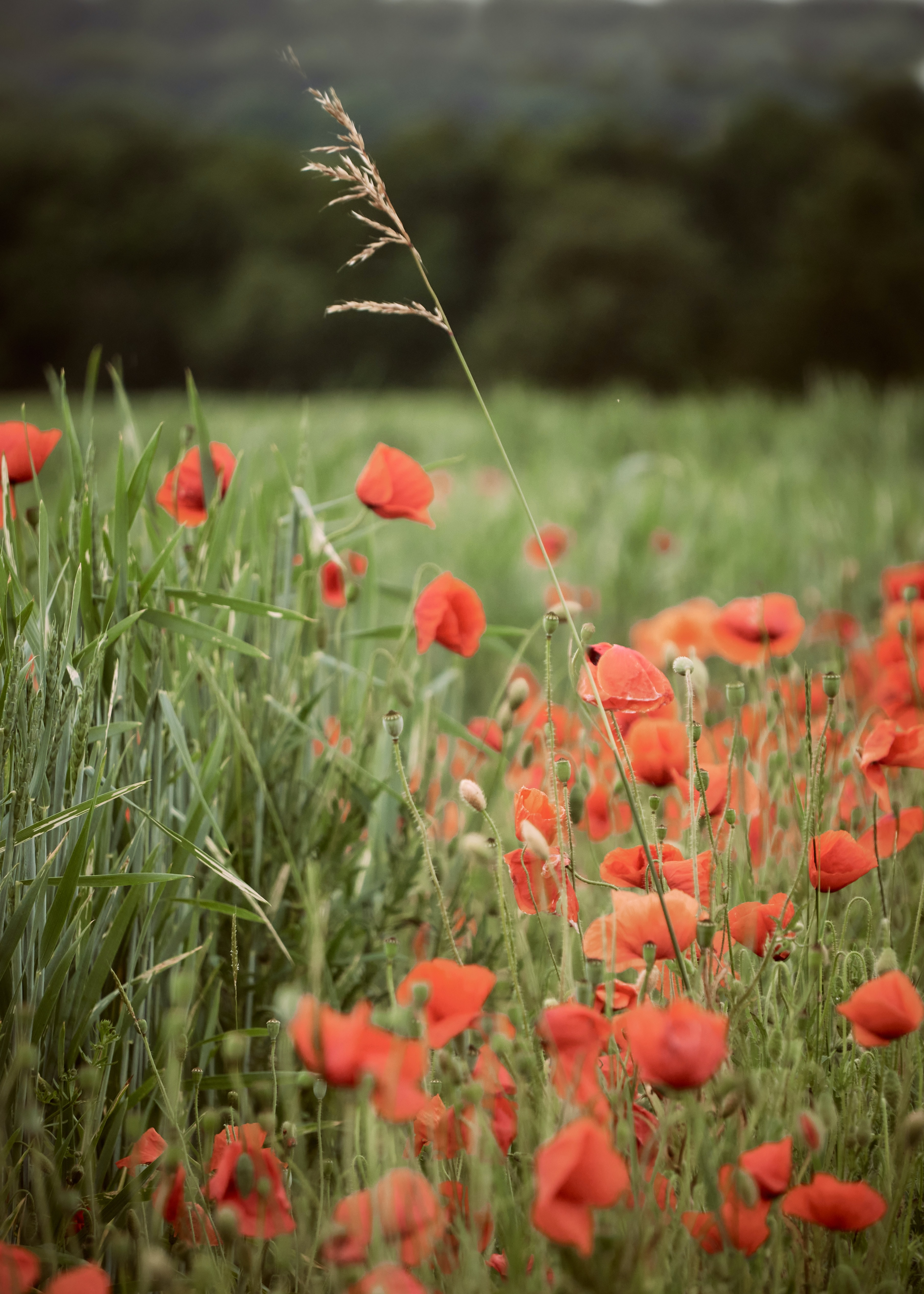 142989 Screensavers and Wallpapers Poppies for phone. Download Flowers, Grass, Poppies, Ear, Wildflowers pictures for free