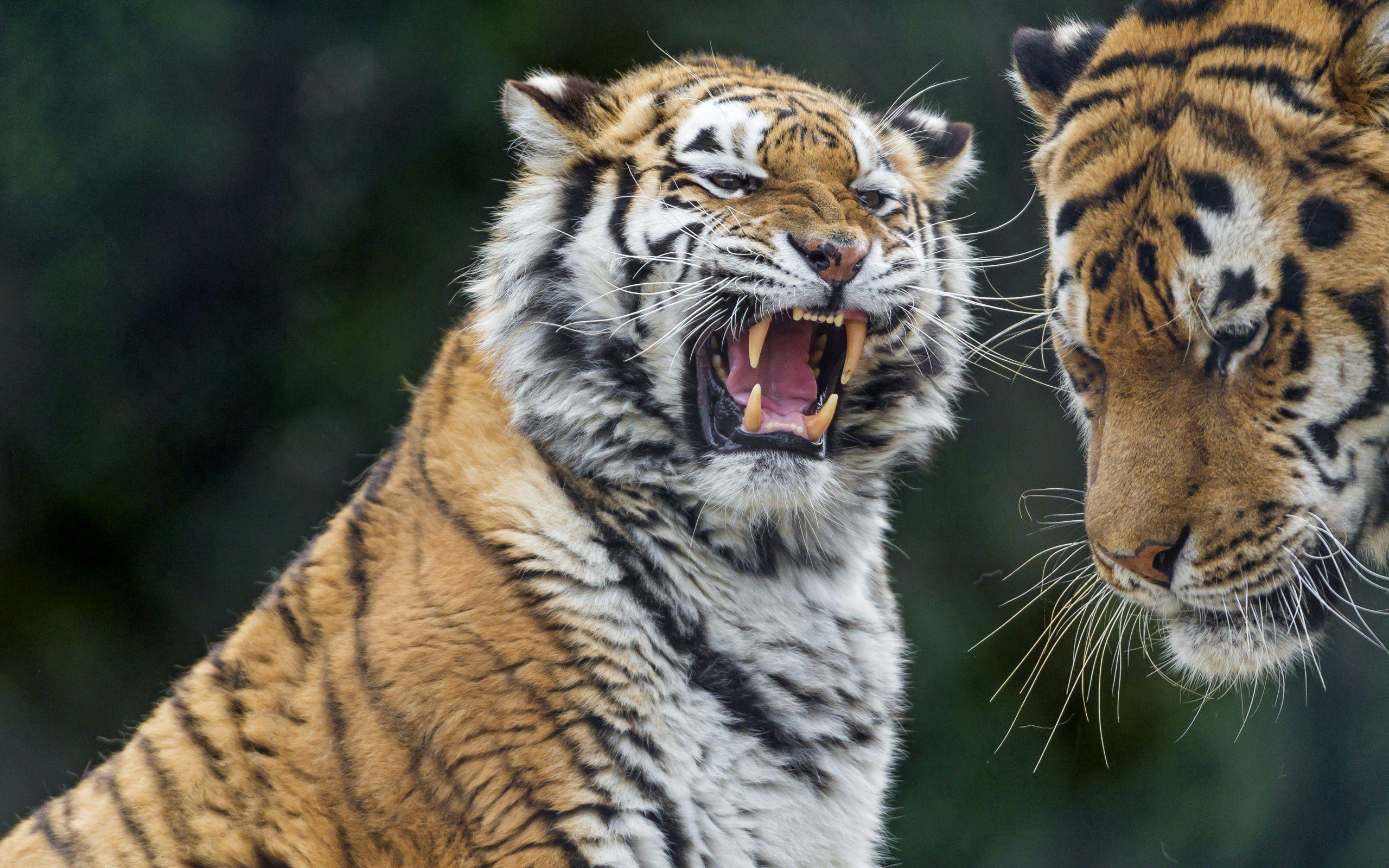 147621 Hintergrundbild herunterladen Tiere, Tigers, Aggression, Grinsen, Grin, Raubtier, Predator, Tiger - Bildschirmschoner und Bilder kostenlos