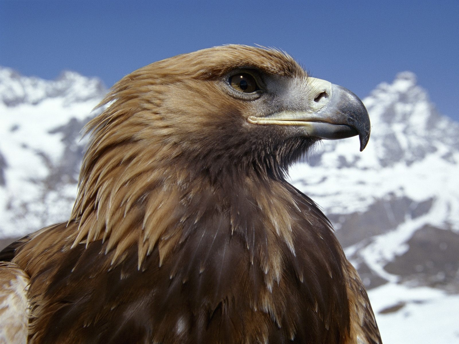 2845 download wallpaper Animals, Birds, Eagles screensavers and pictures for free