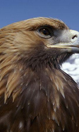 2845 baixar papel de parede Animais, Aves, Eagles - protetores de tela e imagens gratuitamente