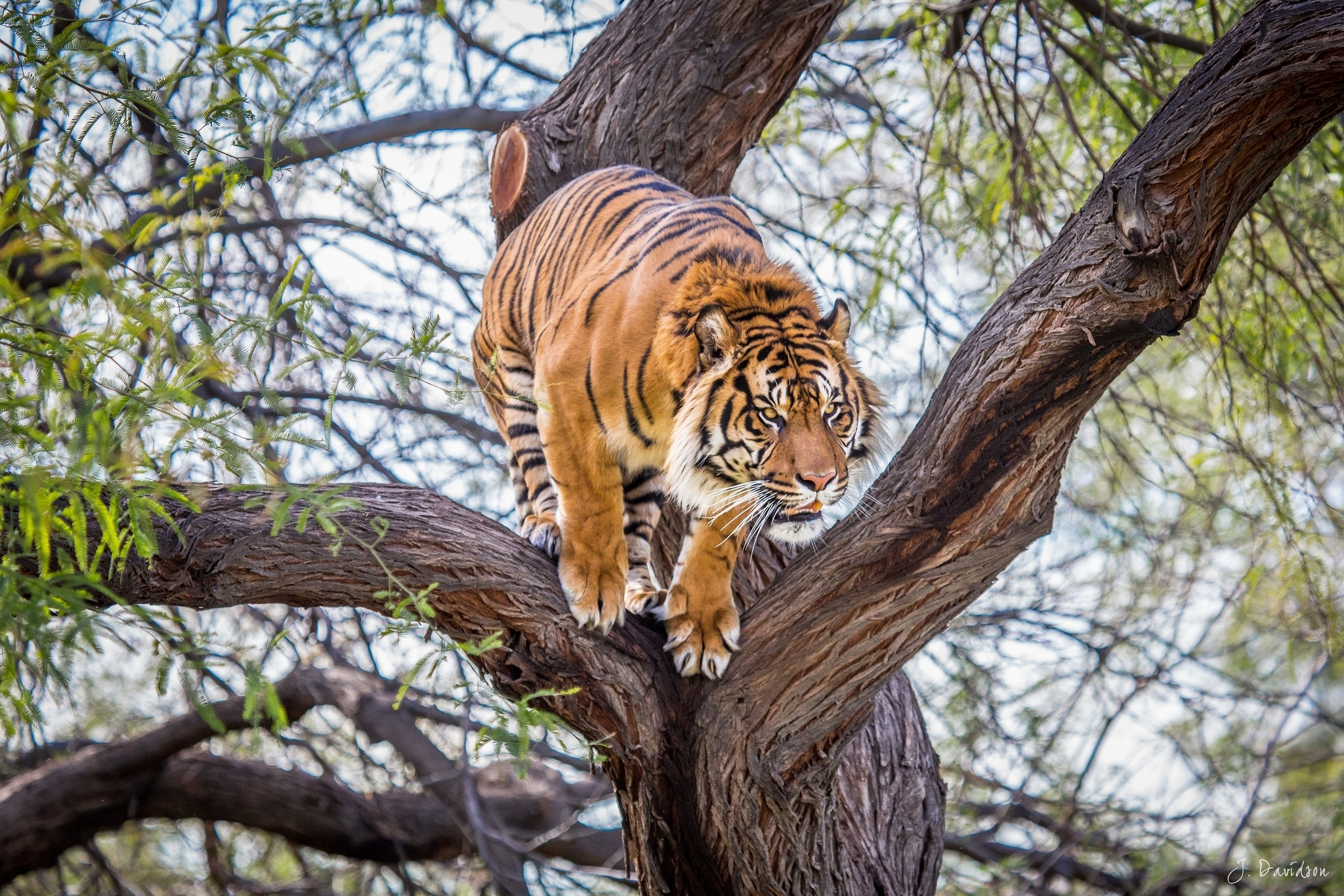 84685 download wallpaper Animals, Tiger, Wood, Tree, Predator screensavers and pictures for free