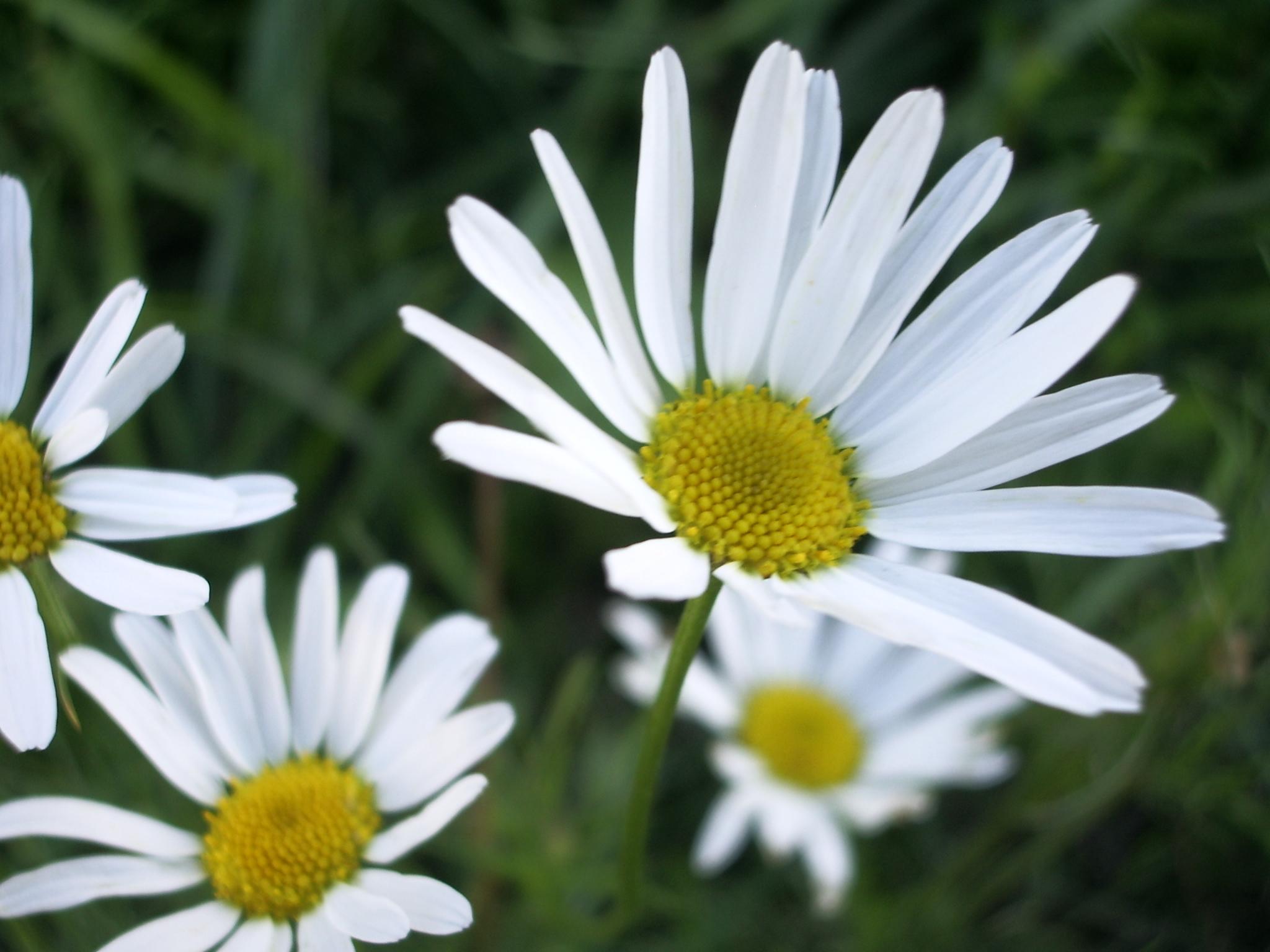 9987 descargar fondo de pantalla Plantas, Flores, Camomila: protectores de pantalla e imágenes gratis